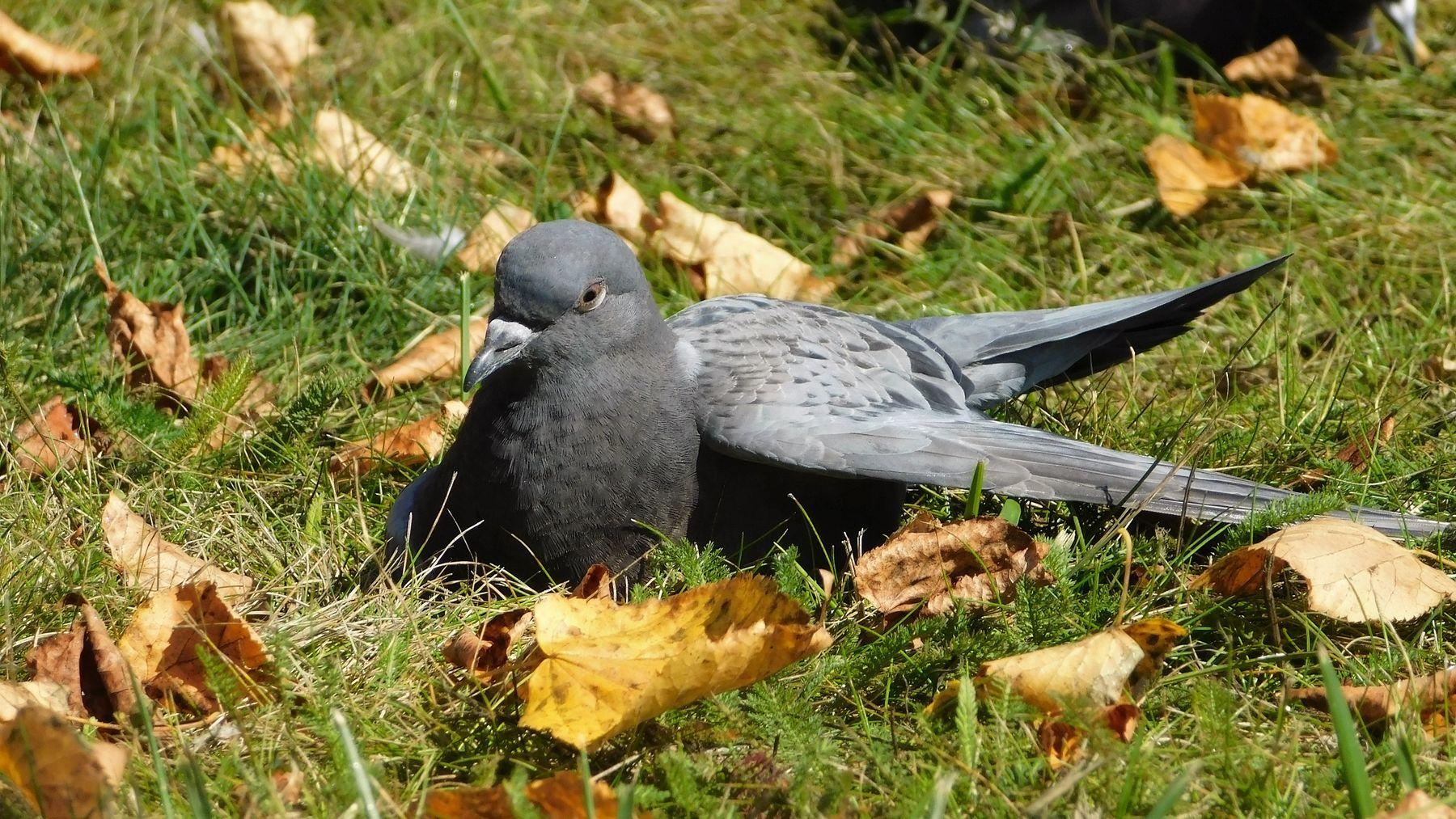 Жарко птицы жара осень голубь