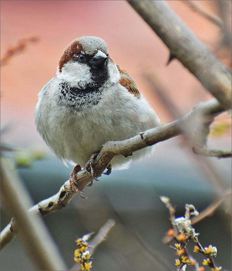 воробей самец птица Польша парк воробей весна Бытом