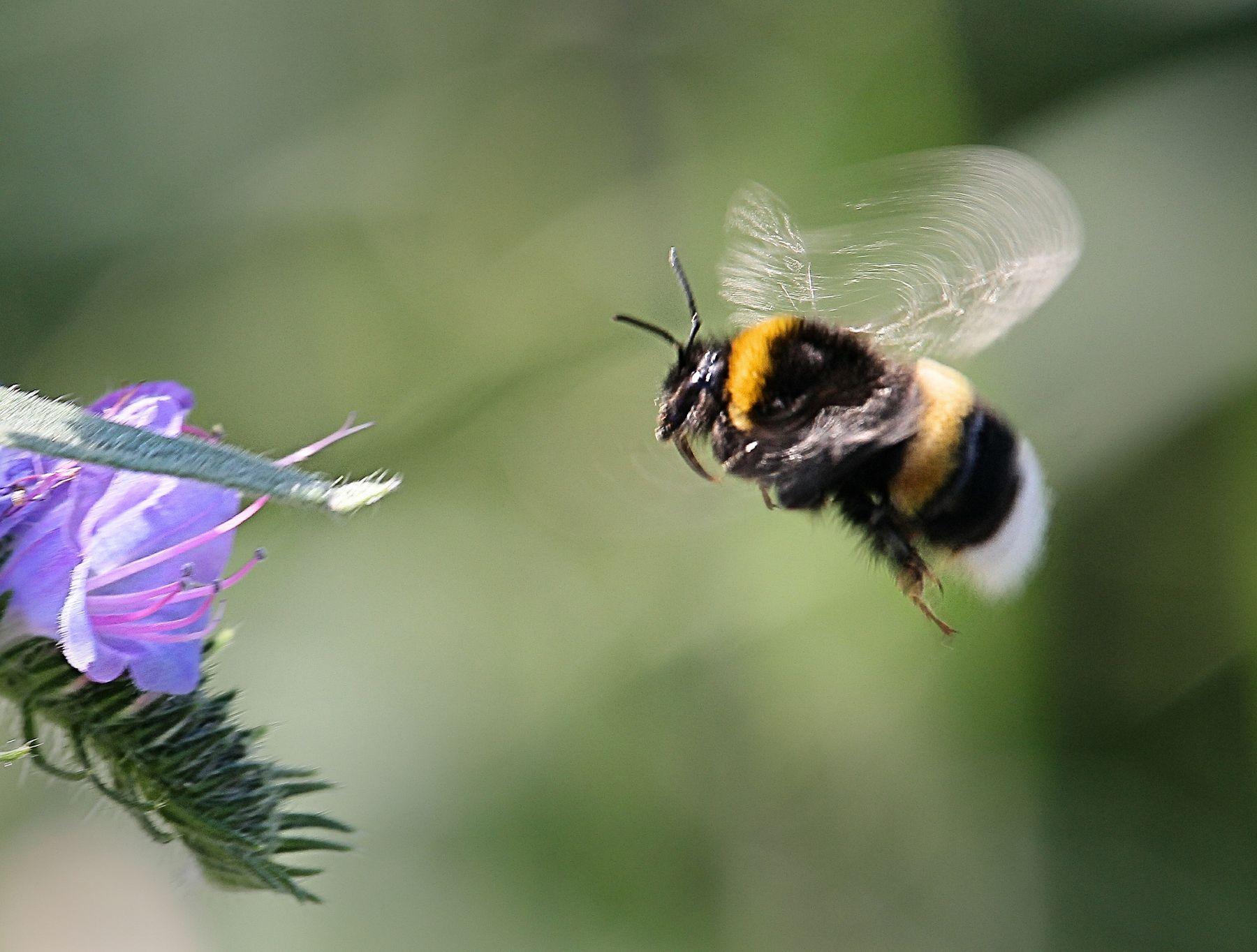 Невеста пчела цветок