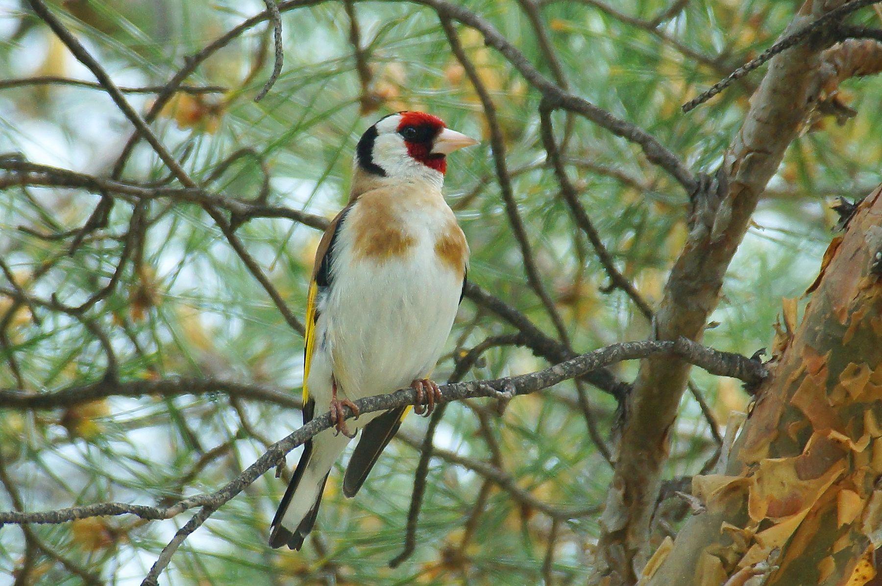 Щегол на сосне птицы весна щегол Волгоград
