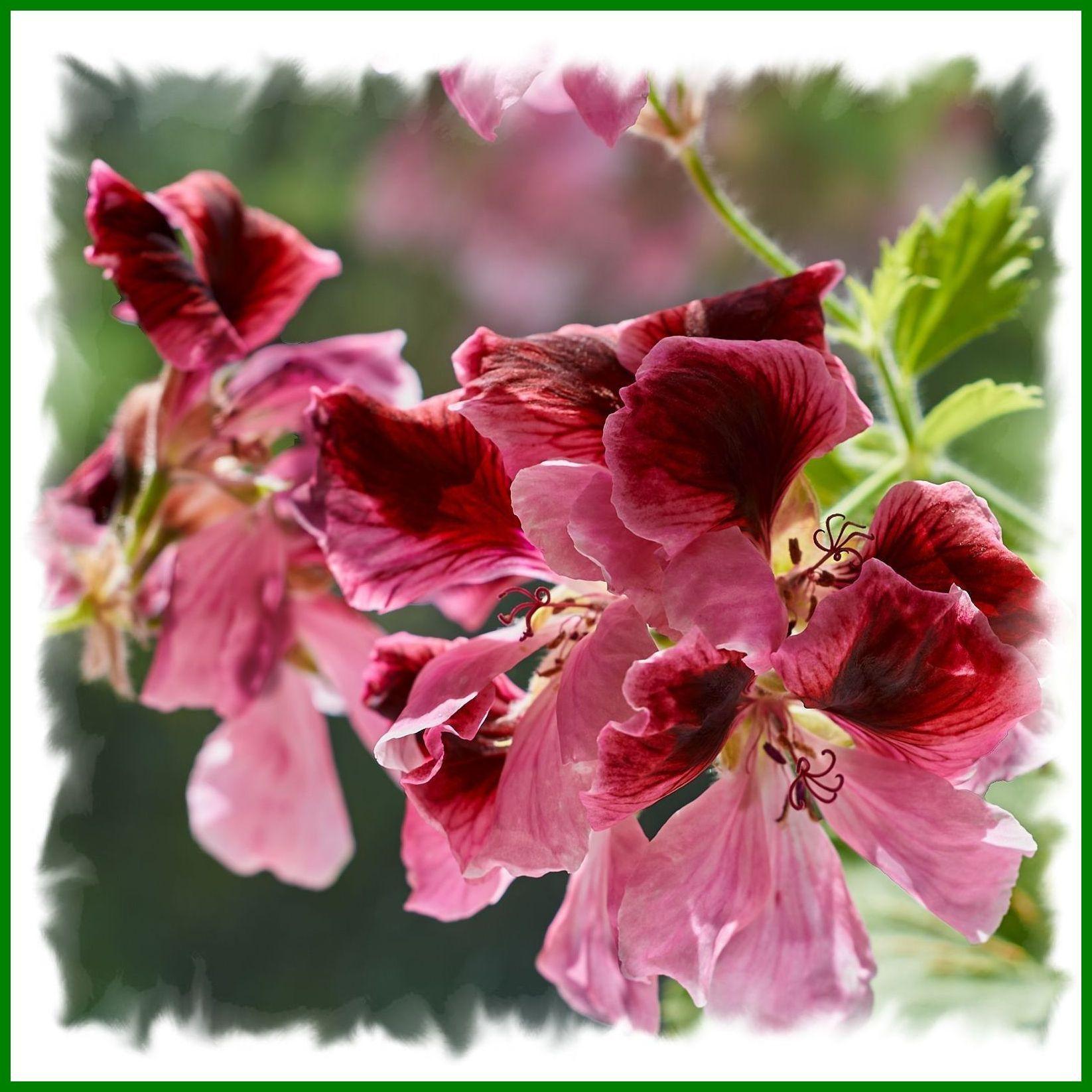 Королевская герань. Цветок герань пеларгония