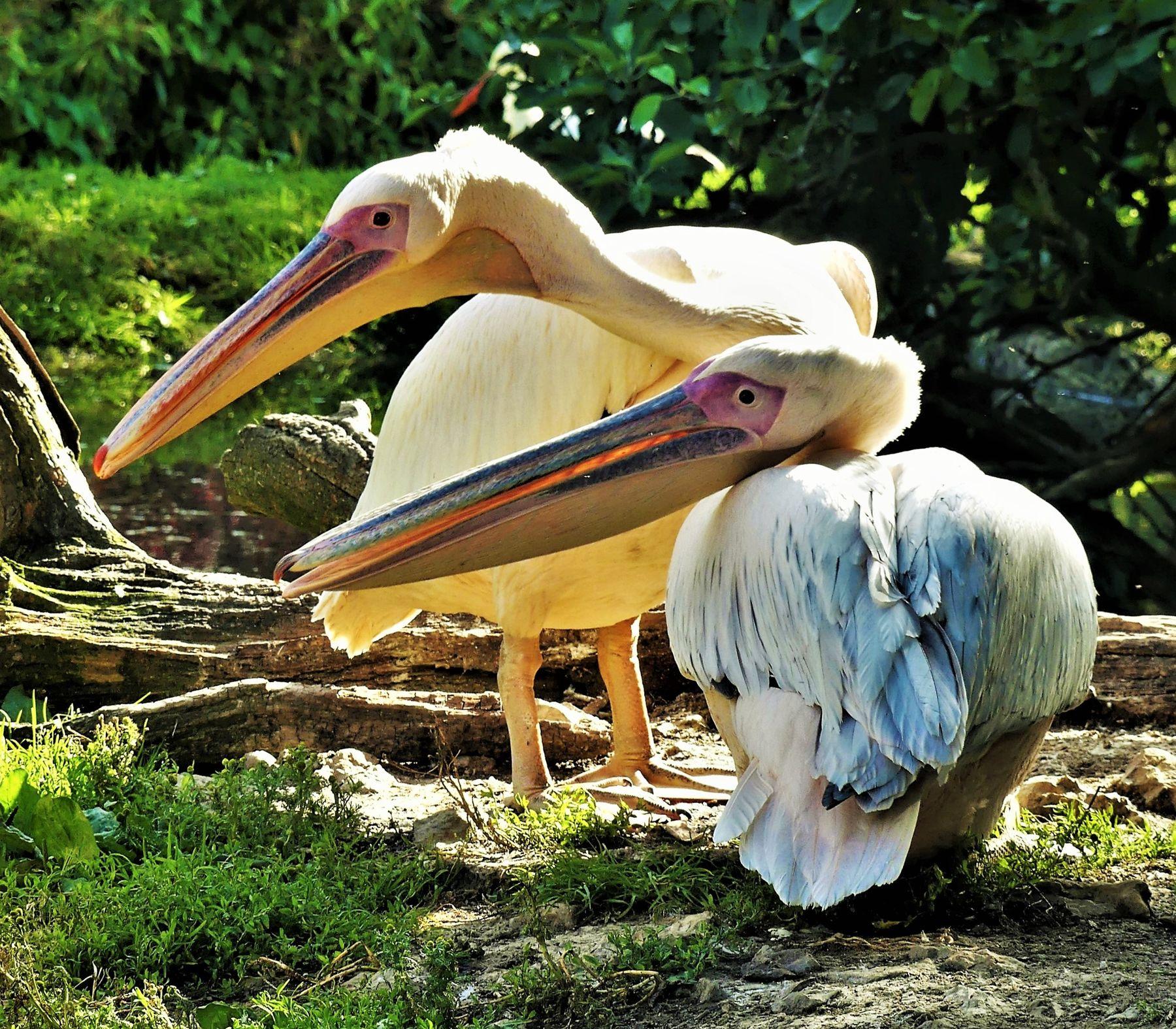 Пеликаны Пеликаны