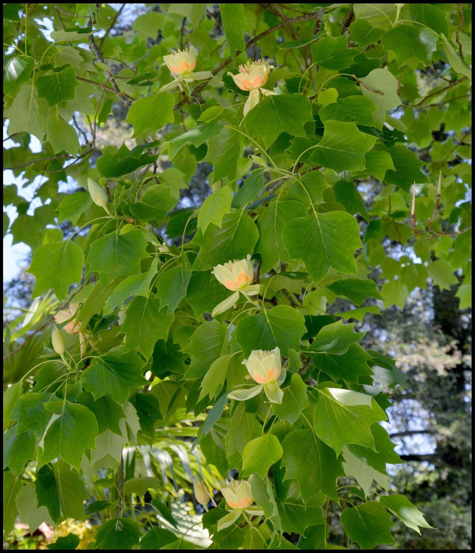 ***Тюльпановое дерево
