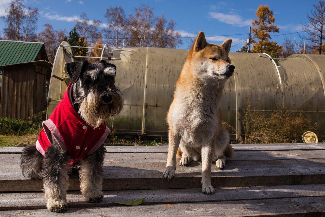 Смотрящие за работой собаки осень дача сиба-ину цвергшнауцер
