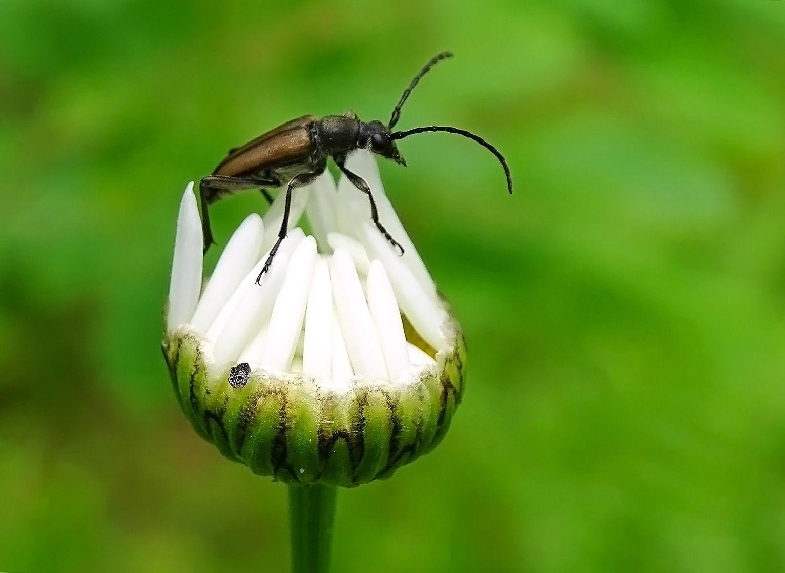 Пассажир... Сибирь лето 2021 жук усач ромашка бутон макро