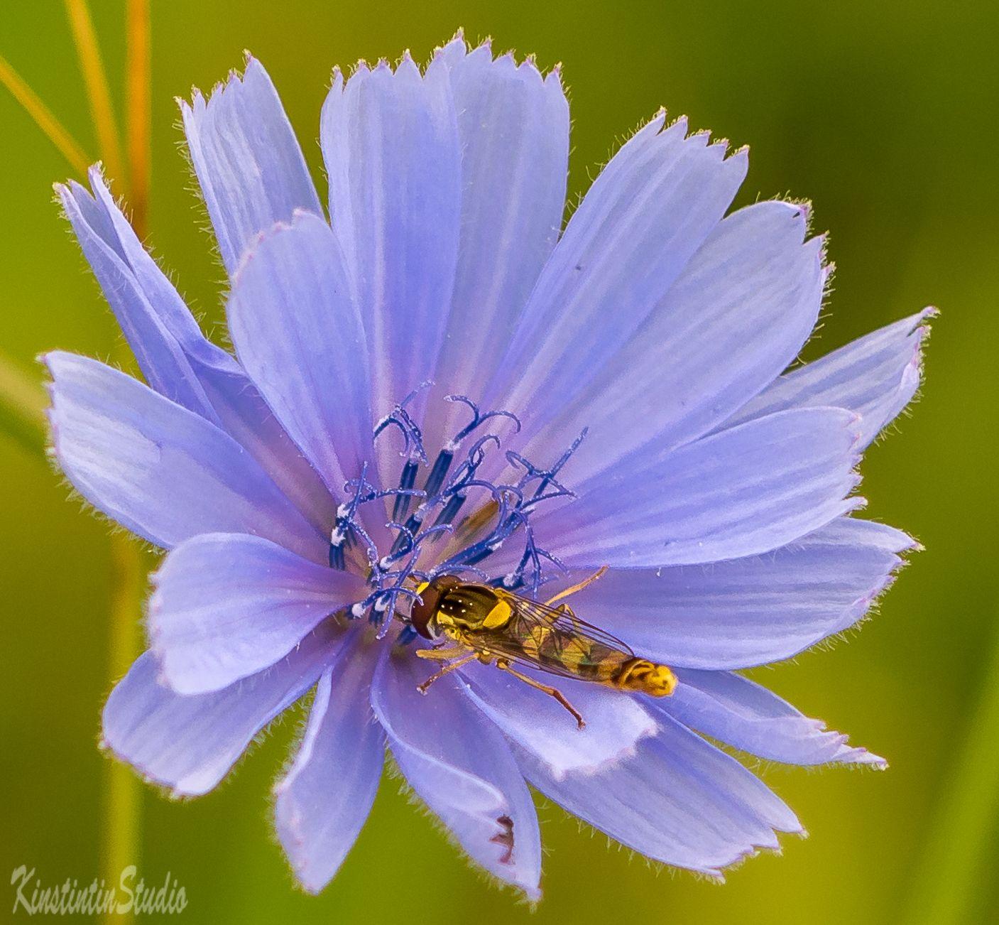 ***Очень вкусный цветок!*** цветок муха июль лето