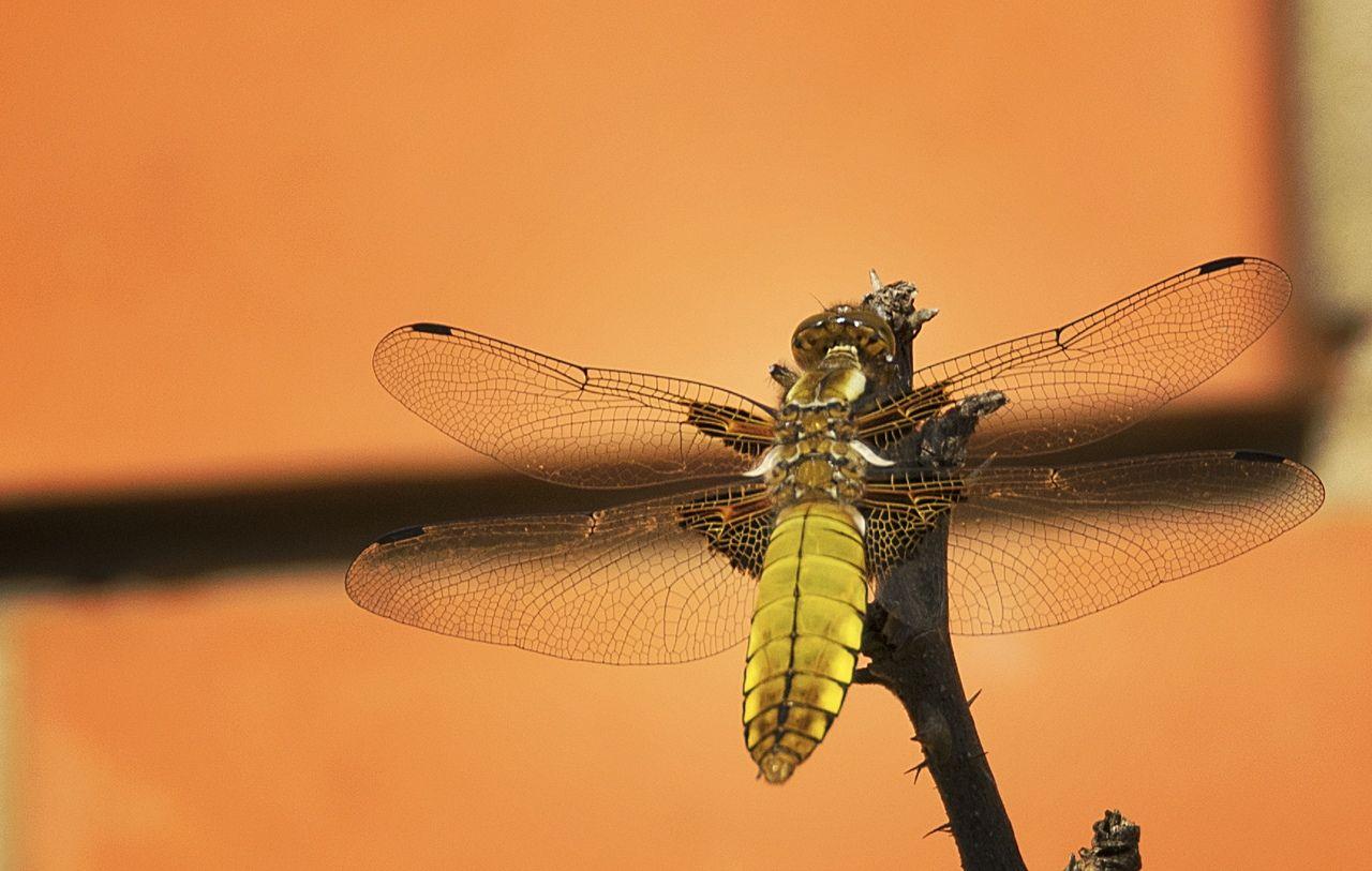 Плоская стрекоза животные насекомые стрекоза макро