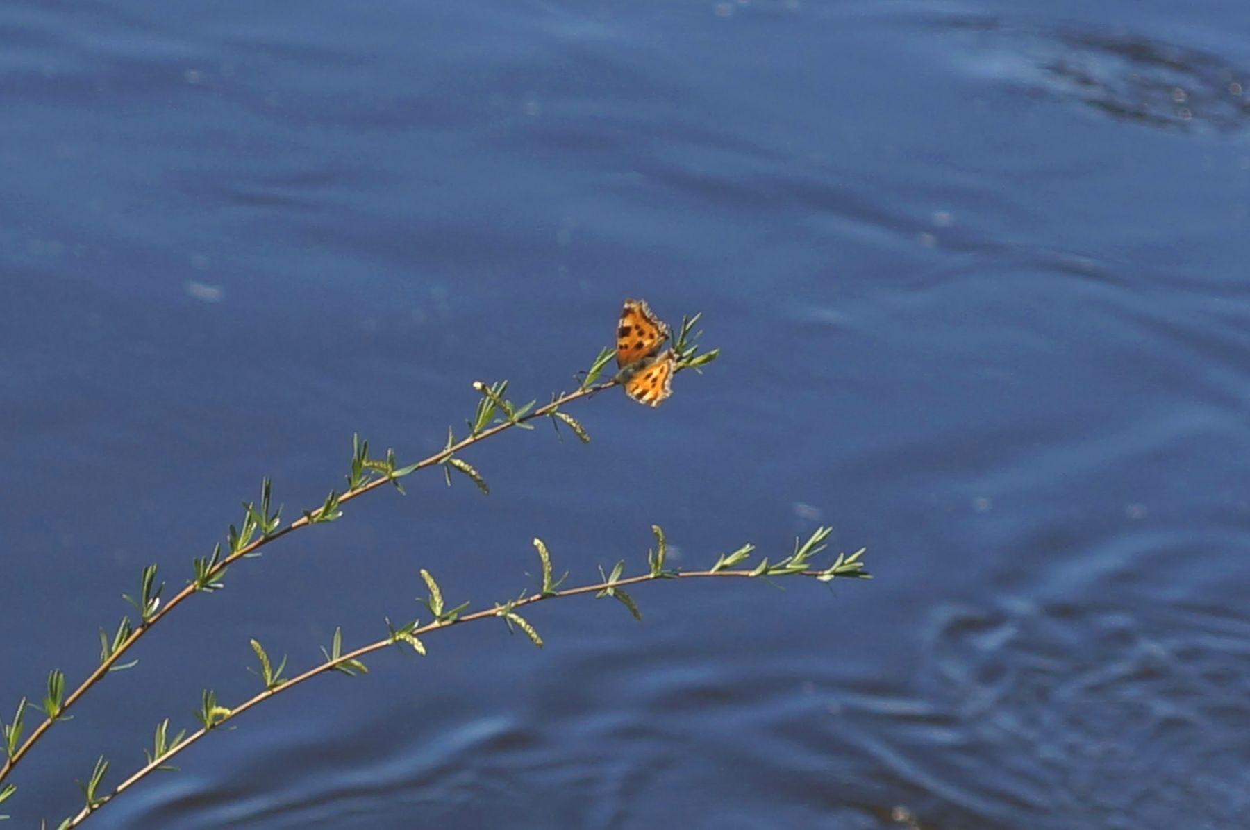 Бабочка бабочка верба ветка вода река