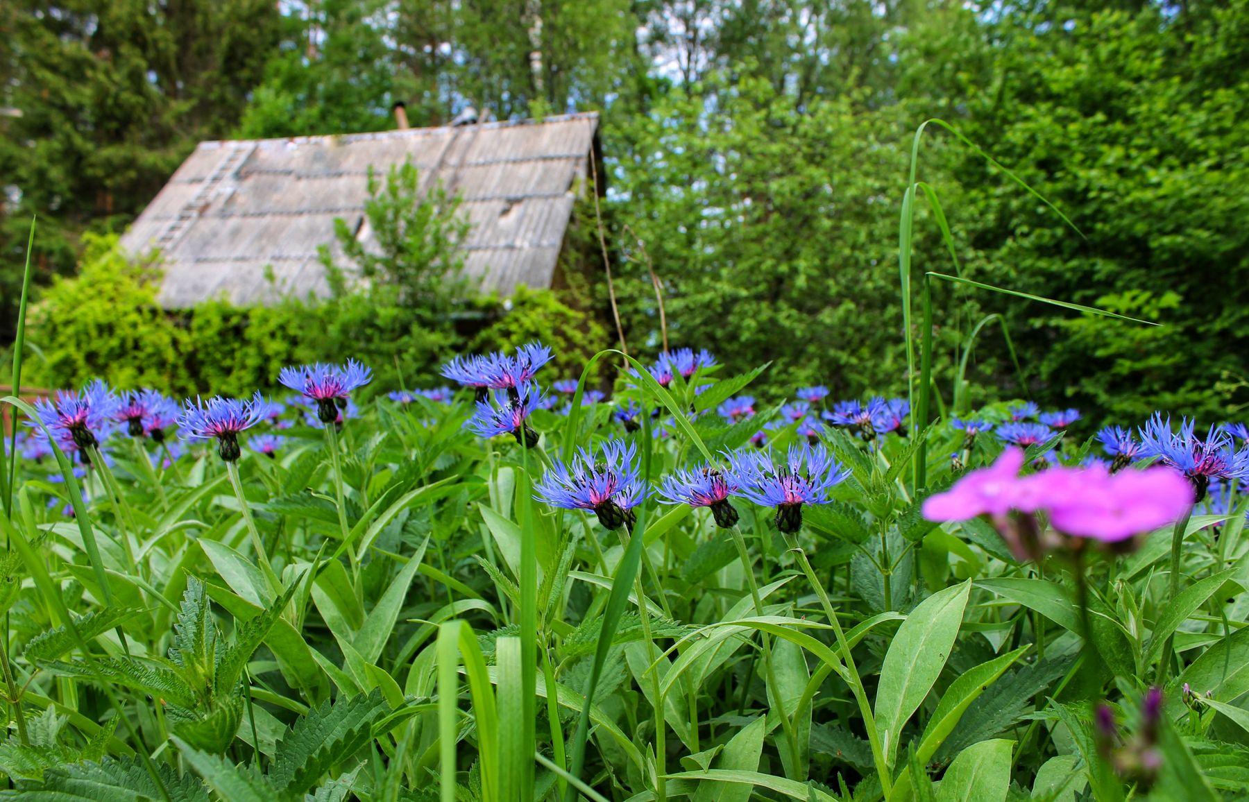 *** лето дача васильки природа растения
