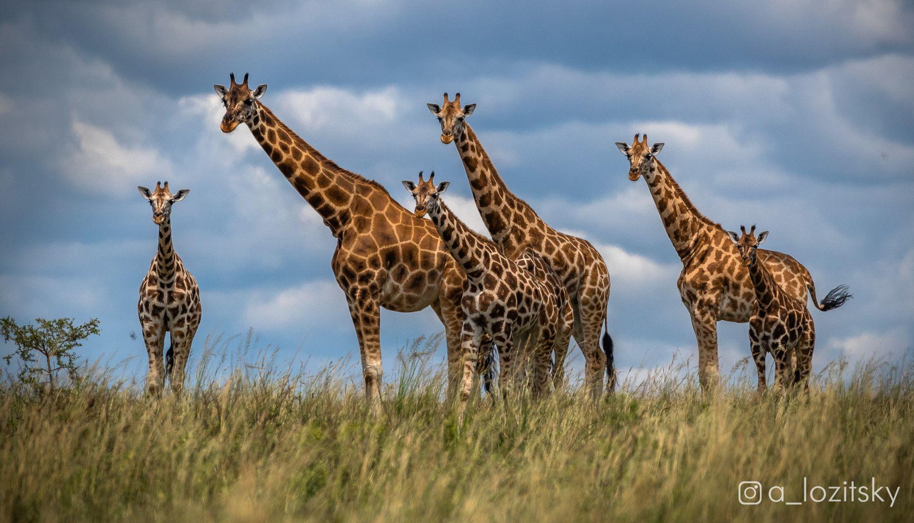Любопытные жирафики, Уганда