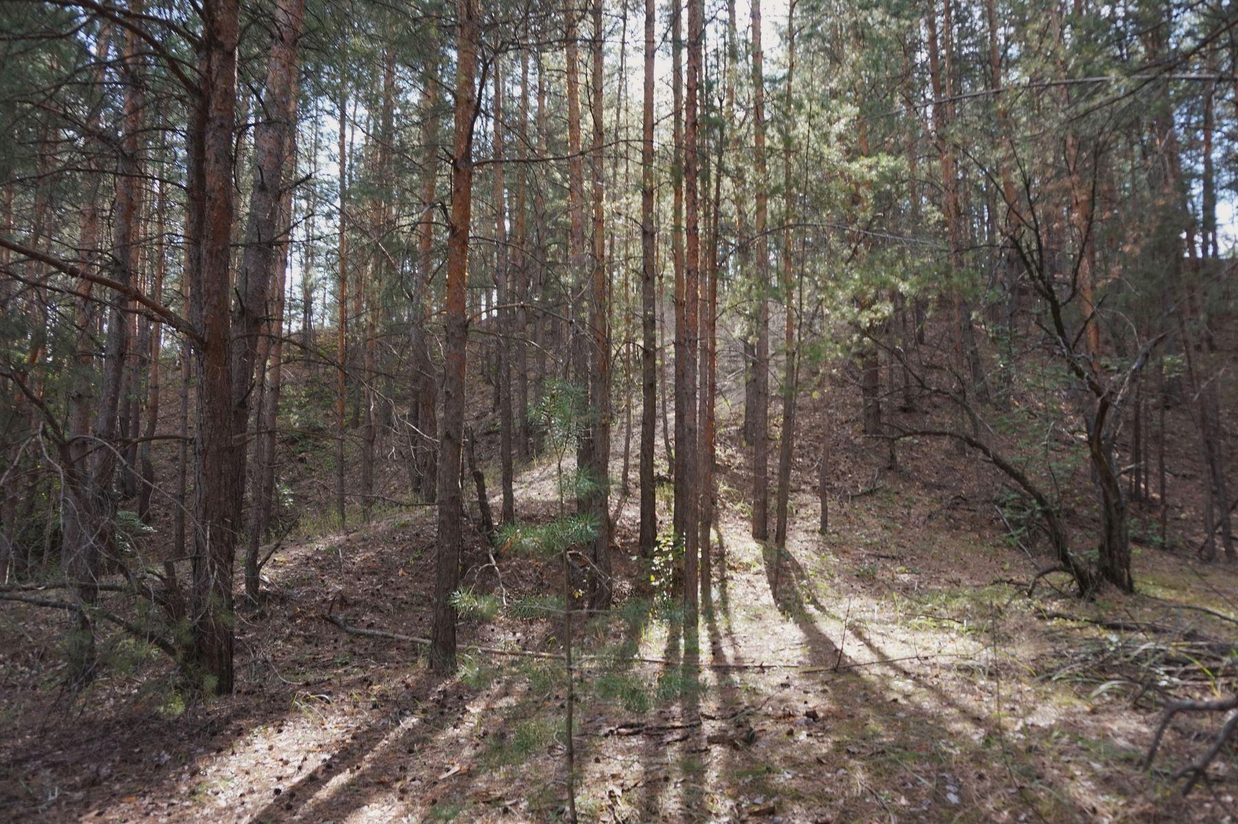 В сосновом лесу Пейзаж сосны лес