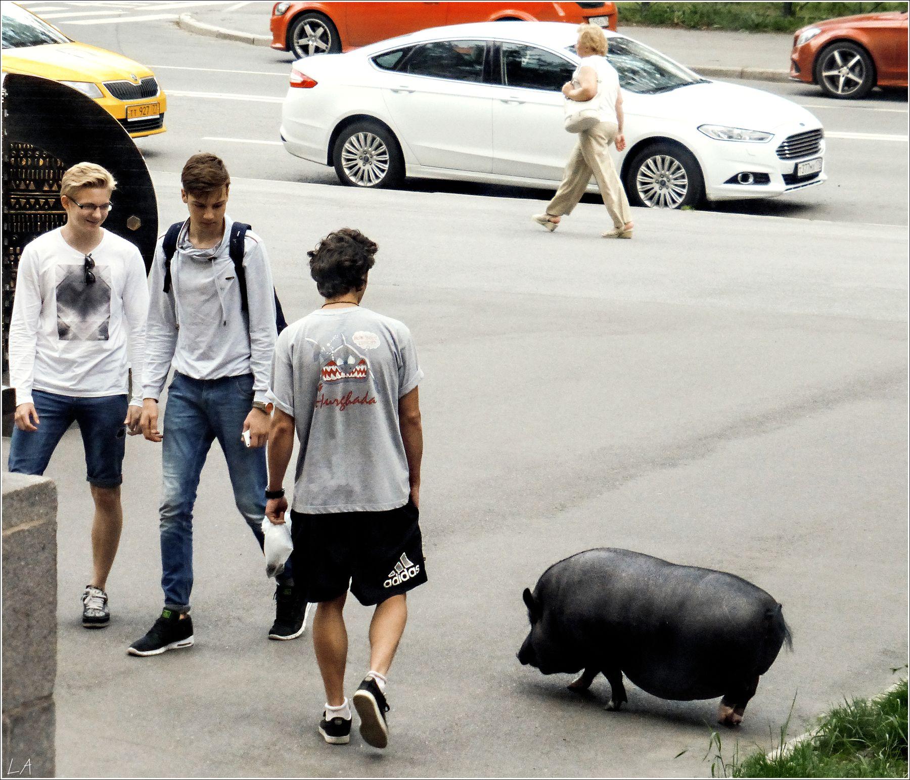 *Вышла свинка погулять...* фотография путешествие Санкт-Петербург животные свинья улица лето Фото.Сайт Светлана Мамакина Lihgra Adventure