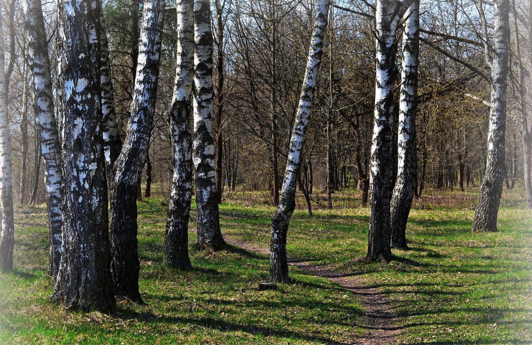 Берёзки-подружки. Весна берёзовая роща берёзка красота природы тропинка лес