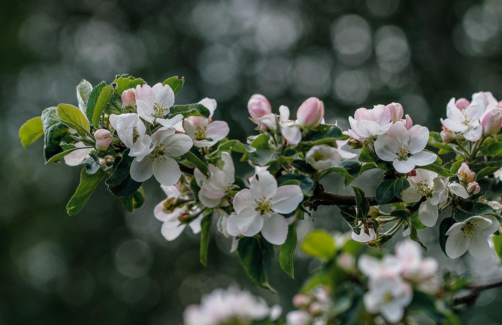 Яблони в цвету яблоня яблоневый цвет