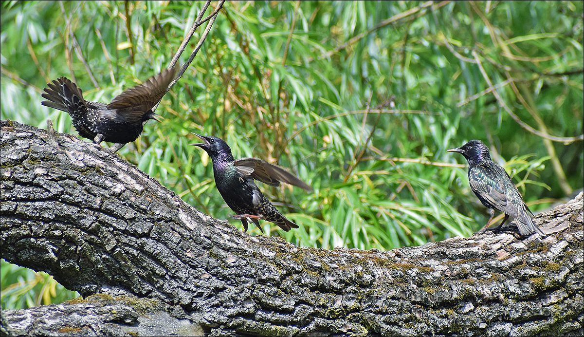 семья скворцов скворец скворцы птицы кормление семья птица лето взрослое молодое Польша Бытом парк корм