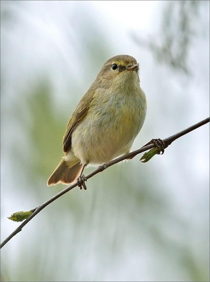 пеночка-теньковкa птичка птица Польша пеночка-теньковка пение лес весна Бытом