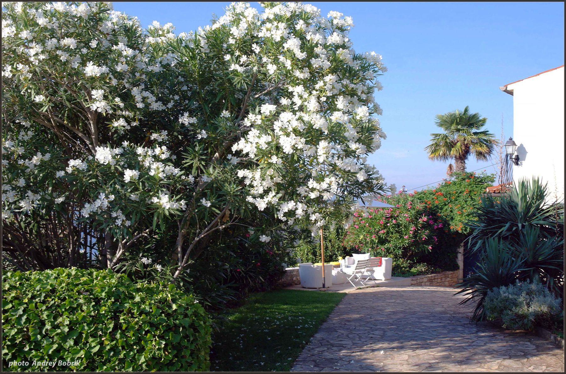 Летнее цветение Хорватия Ровинь цветы дерево кусты