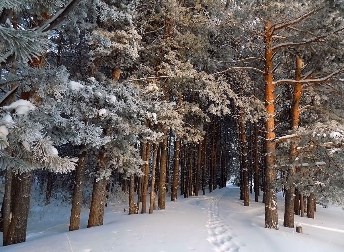 Зимний лес Сибирь зима пейзаж
