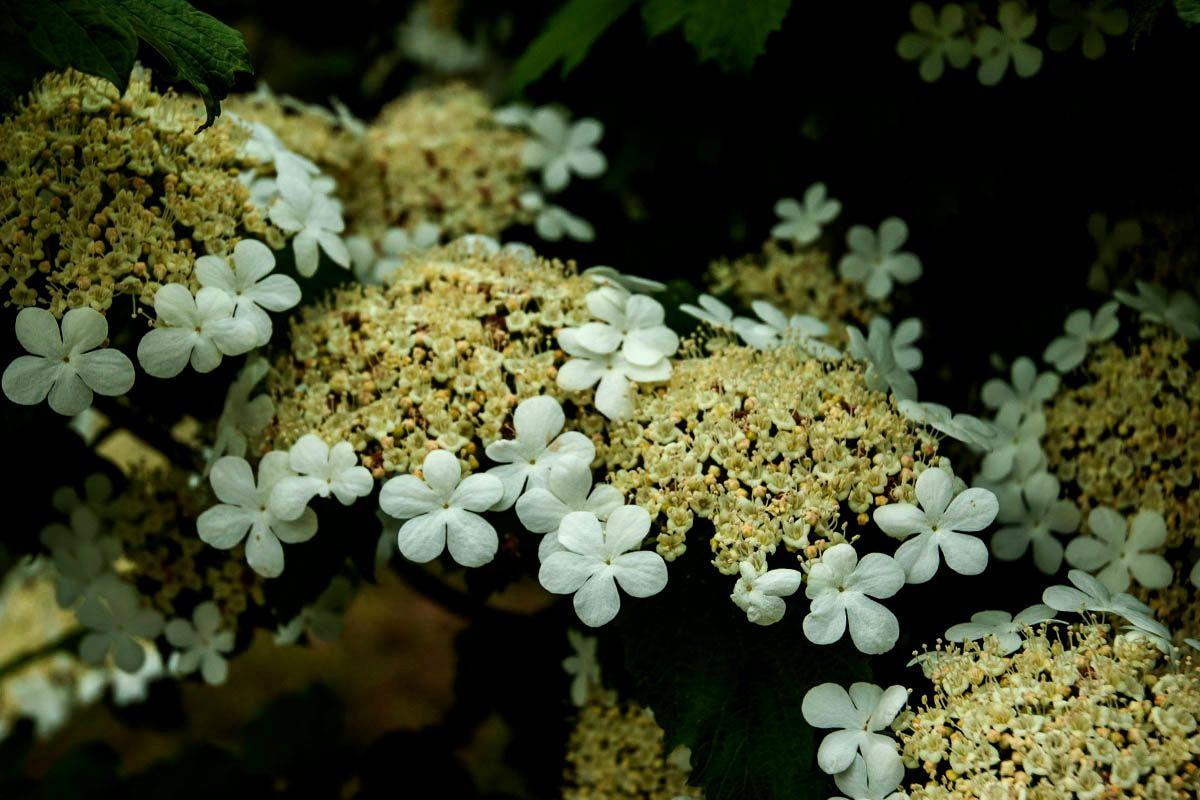 Калина. природа цветы