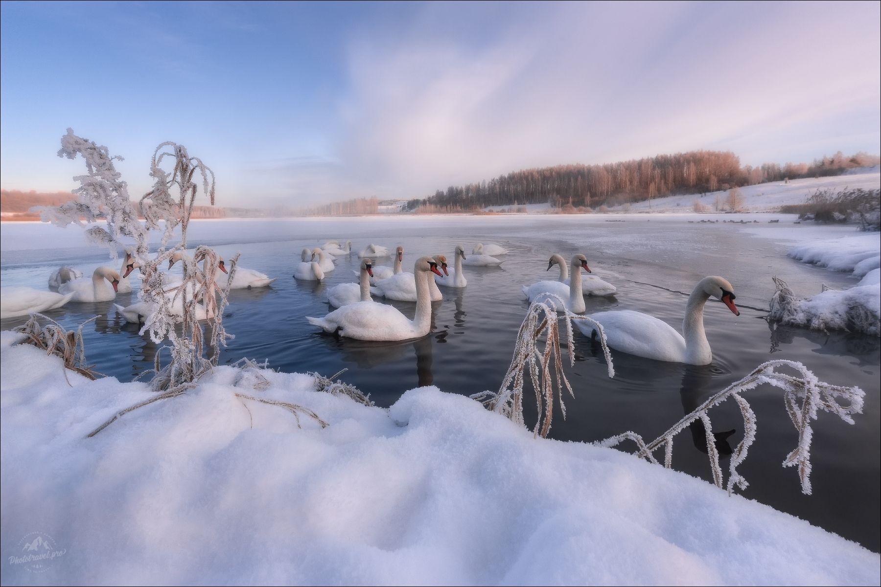 Утро на Лебедином озере .. Изборск Псков Изборско-Мальская долина лебеди лебединое озеро Городищенское Словенские ключи