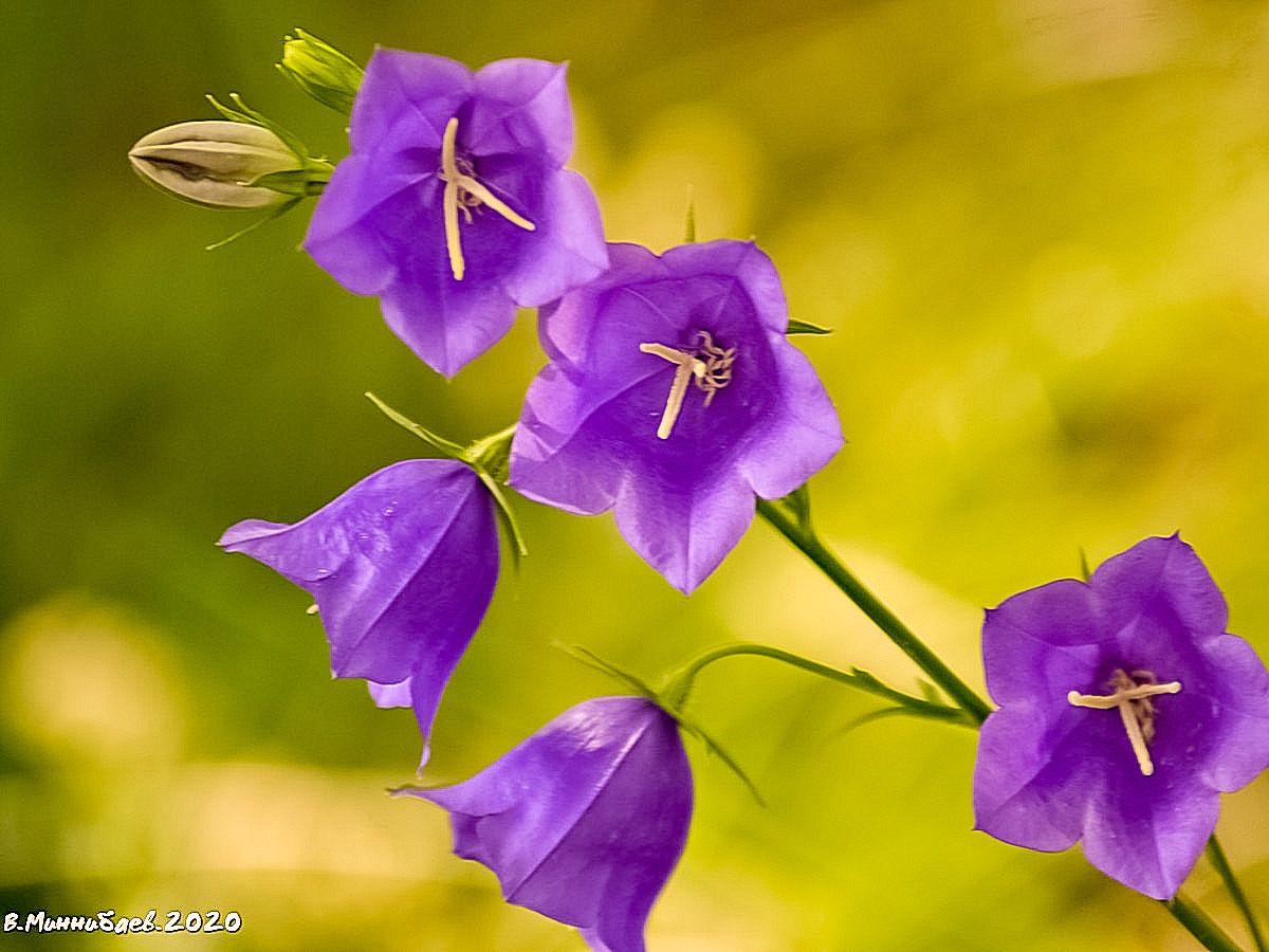 Колокольчики лето природа флора.колокольчики