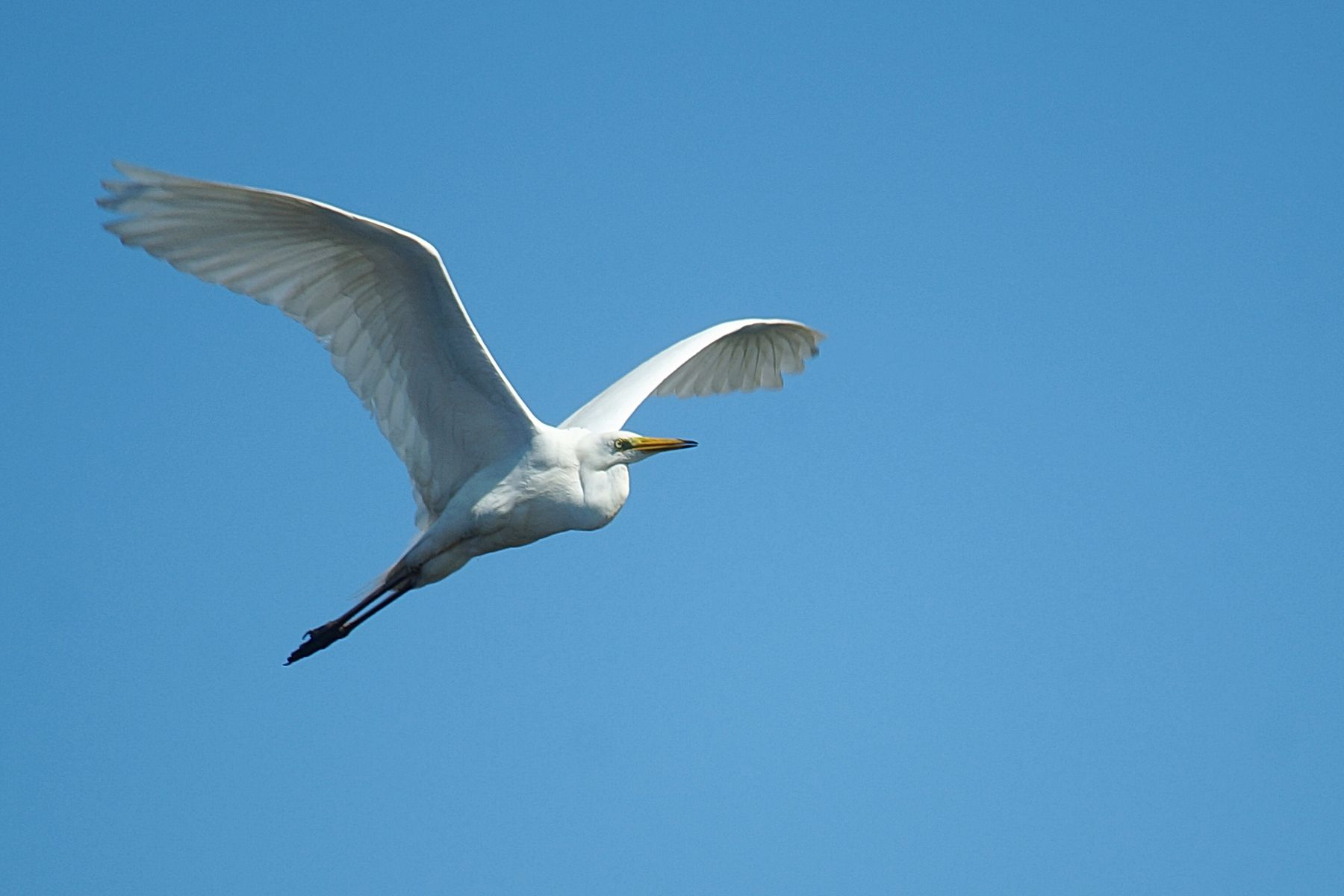 Большая белая цапля в полёте Волгоград река цапля лето