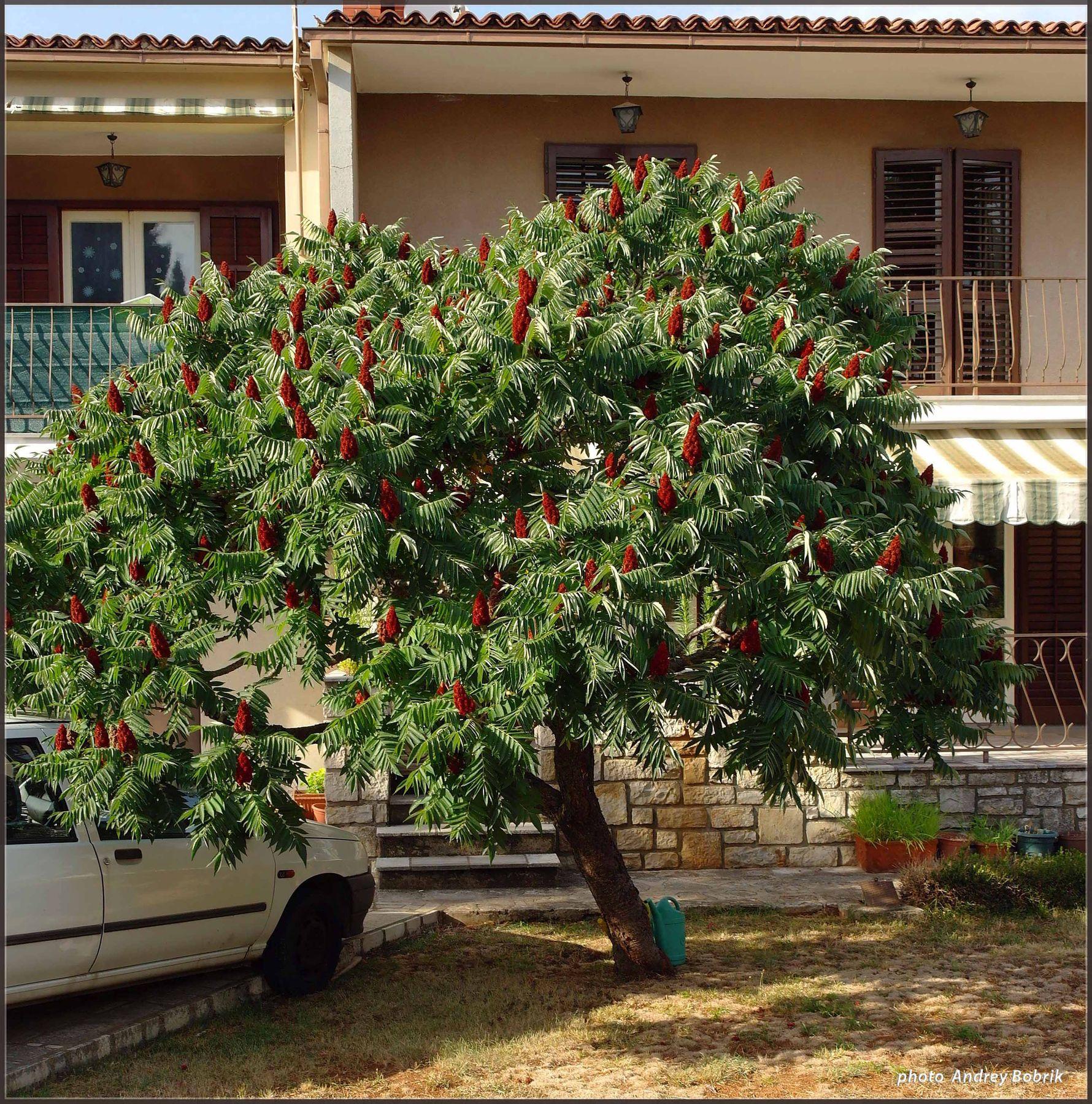 Уксусное дерево Хорватия Ровинь цветы дерево сумах оленероги