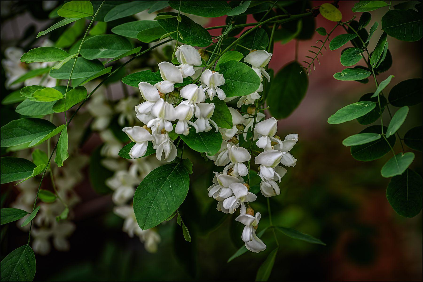 """""""Белой акации гроздья душистые..."""" лето цветы макро"""