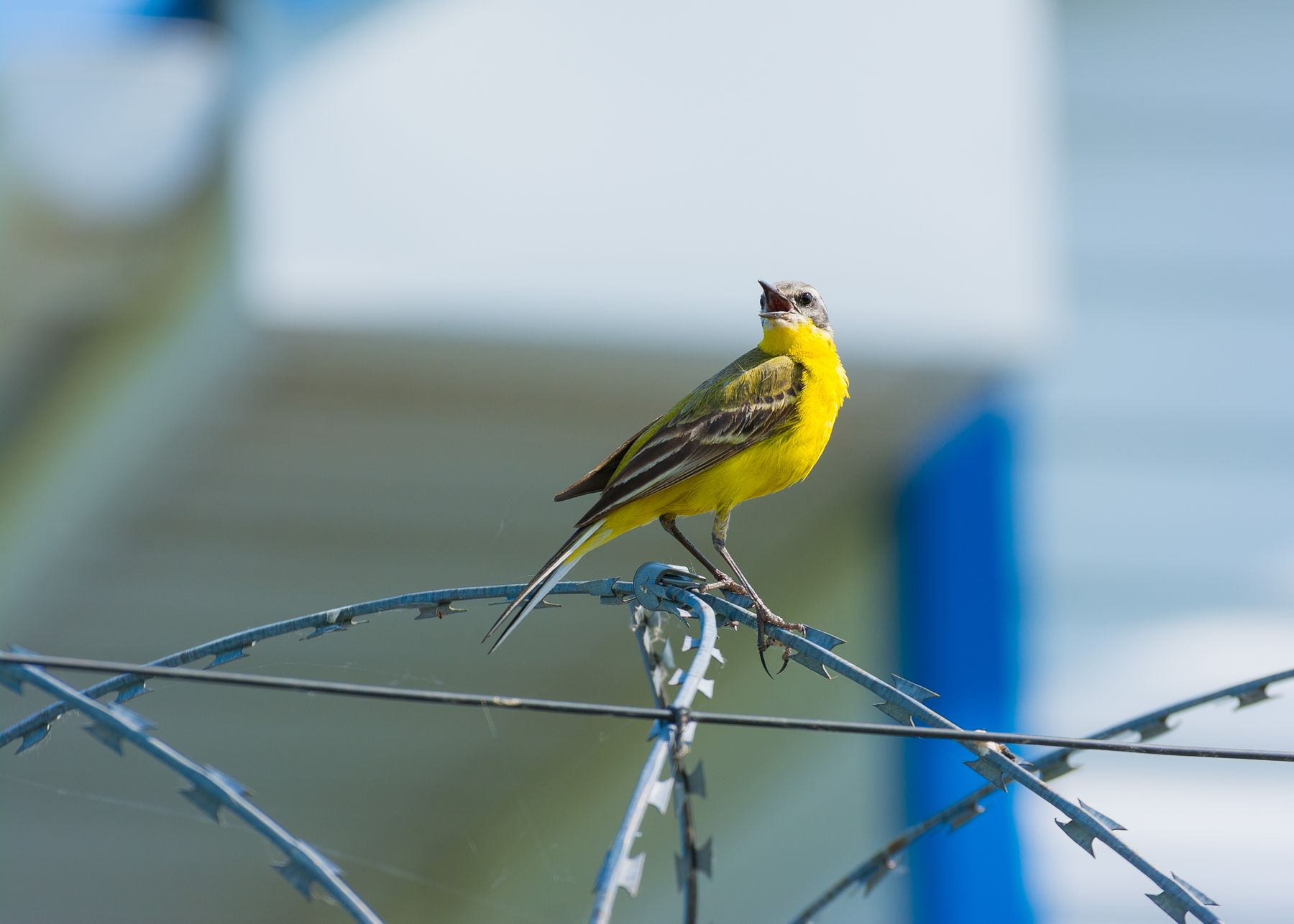 Жёлтая трясогузка Трясогузка птицы фотоохота Сибирь