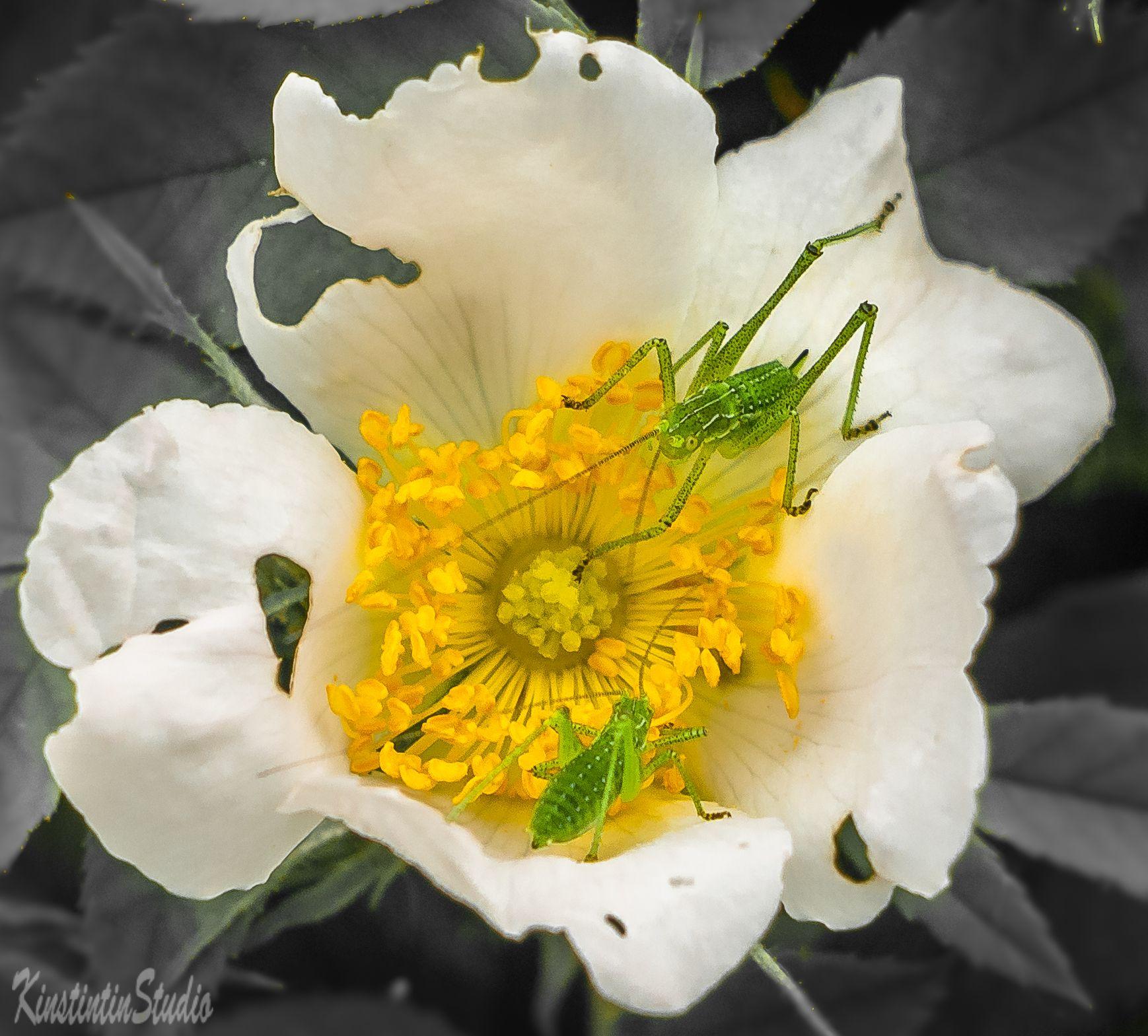На цветке... на цветке кузнечики лето июнь