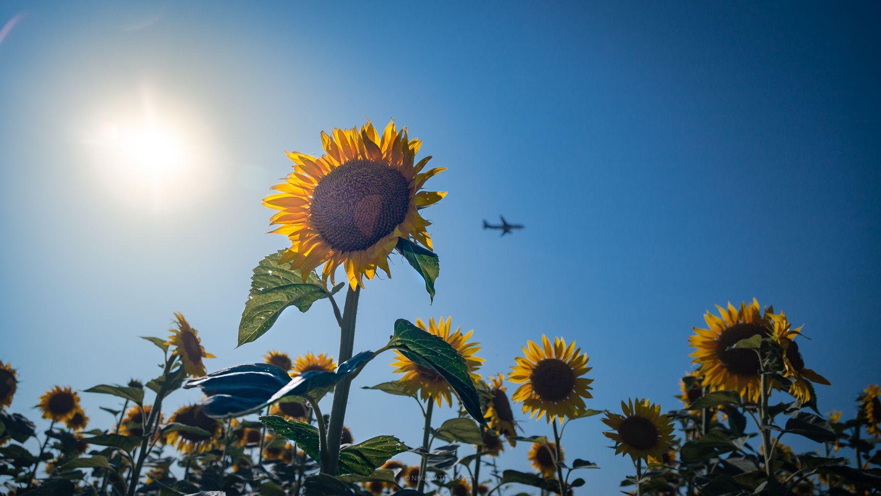 Подсолнух Подсолнух лето море самолет солнце небо