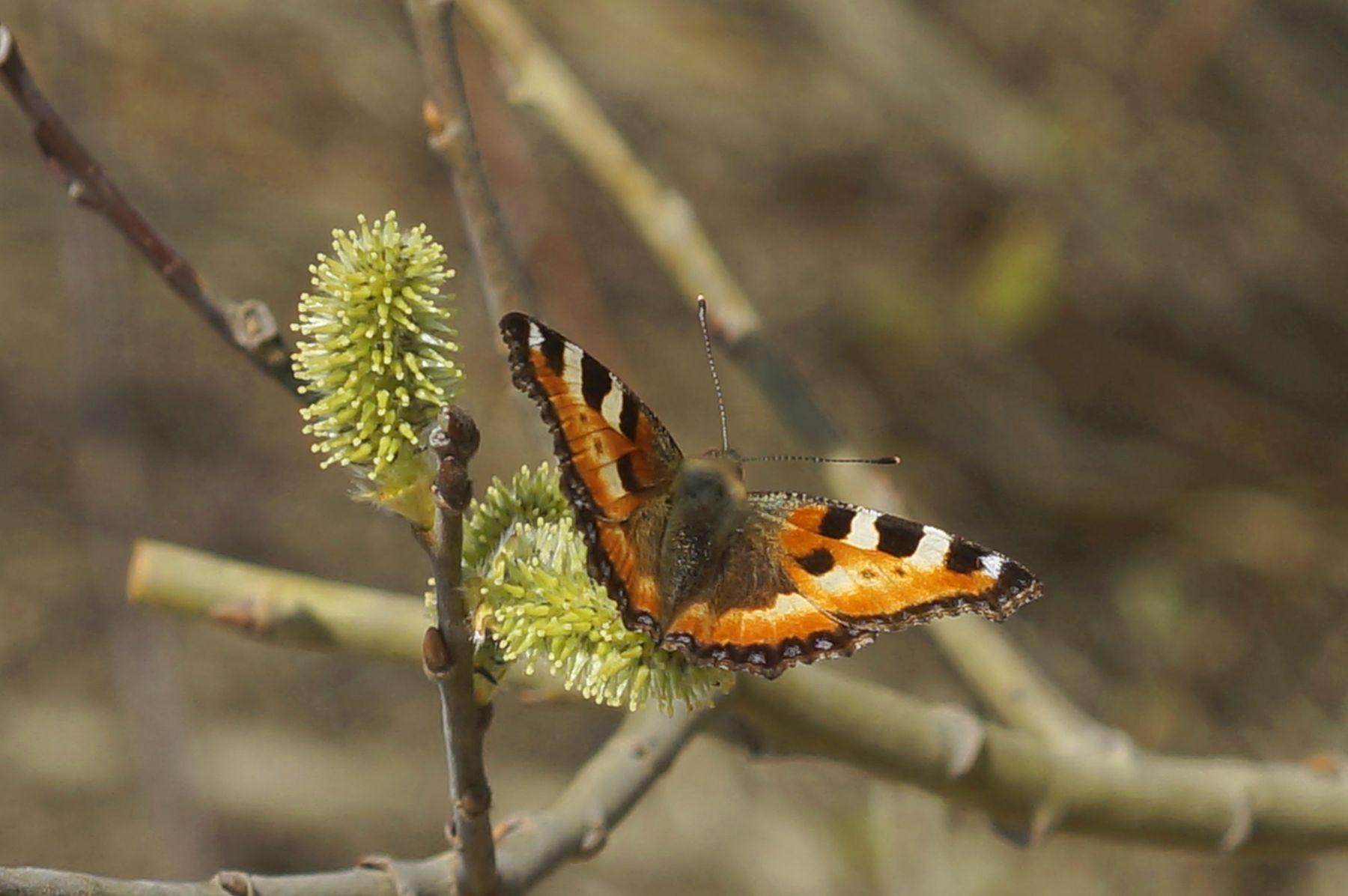 Крапивница крапивница бабочка весна верба лес
