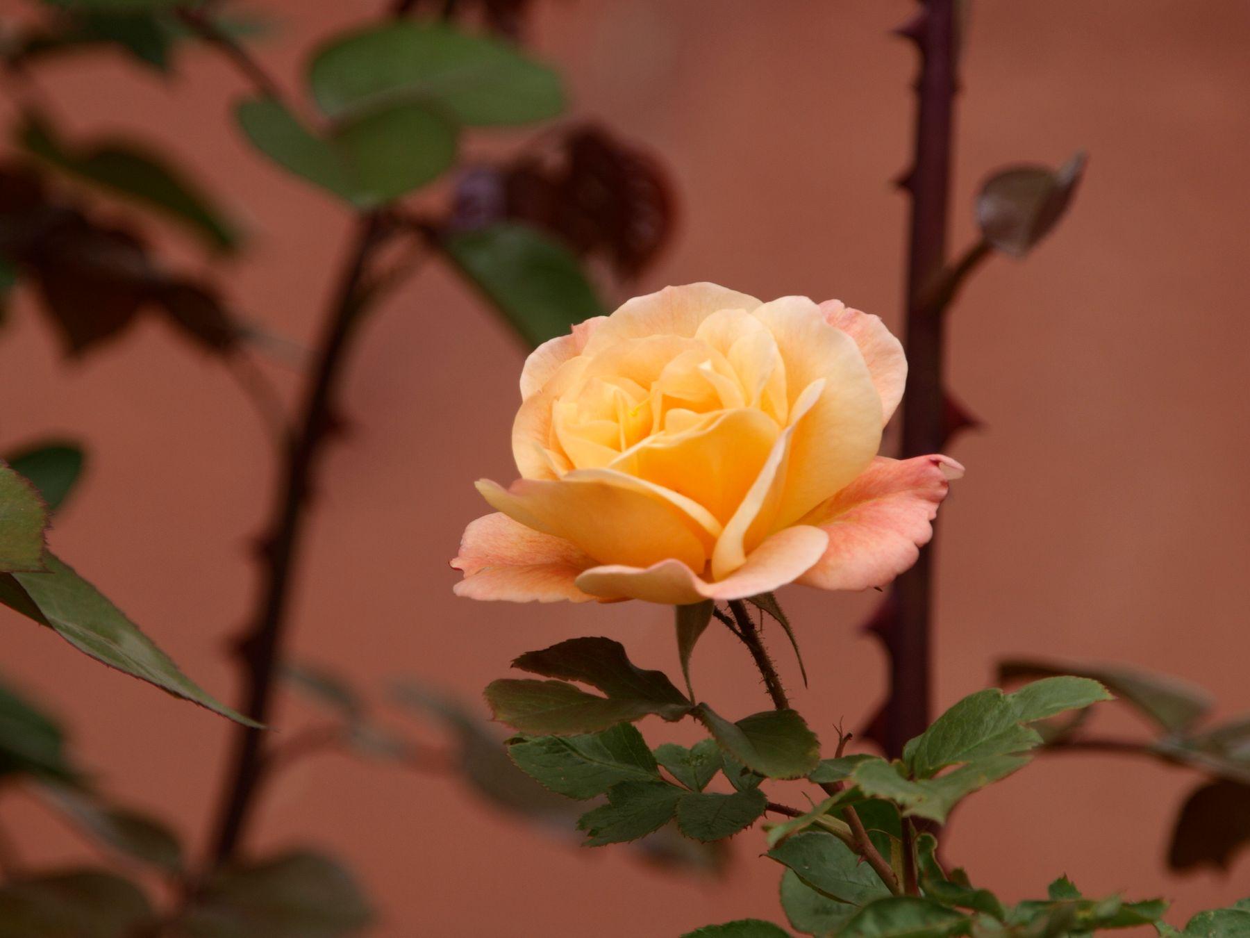 *** роза цветы жёлтая