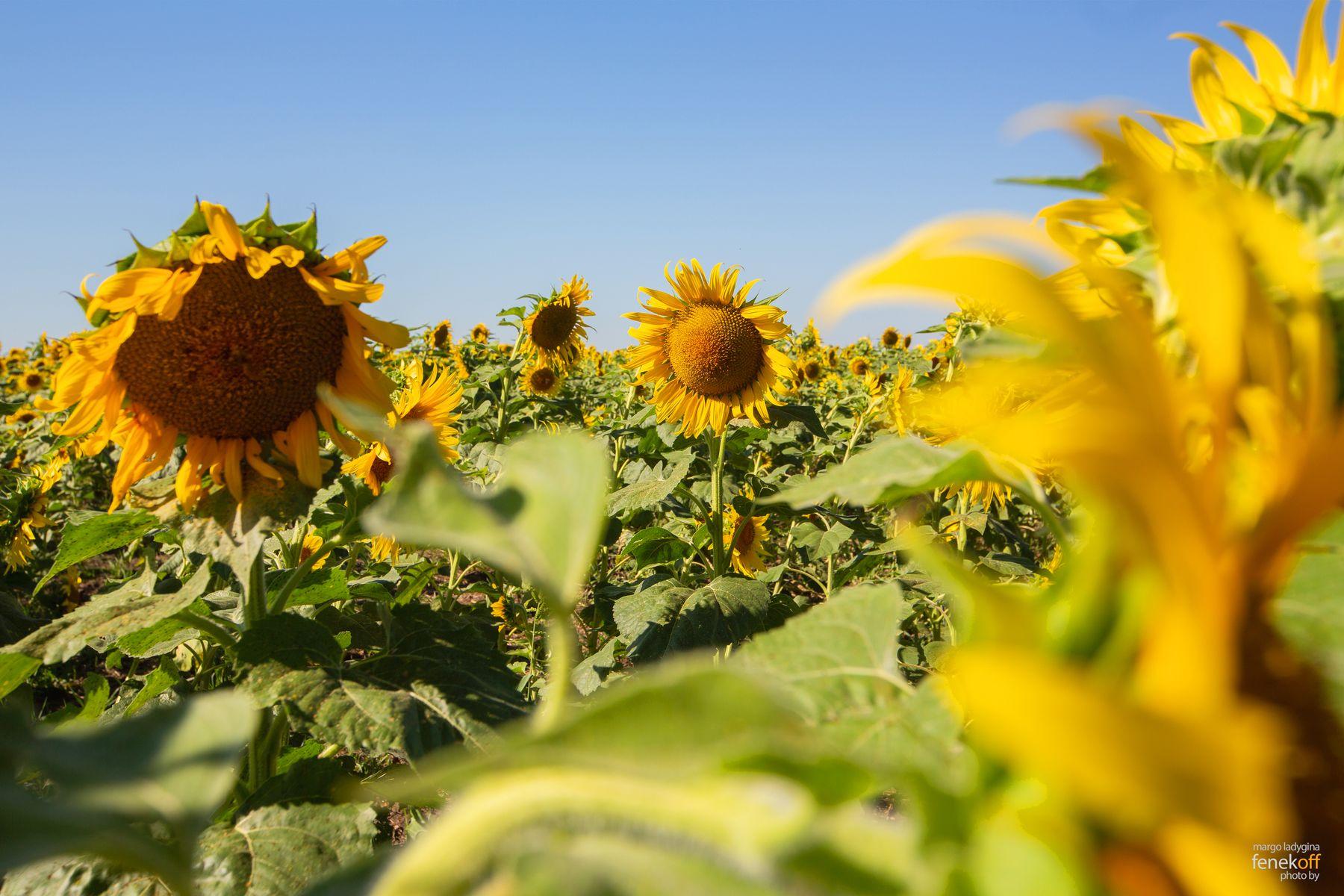 Подсолнухи подсолнухи цветы семечки путешествие природа flowers sunflowers nature travel