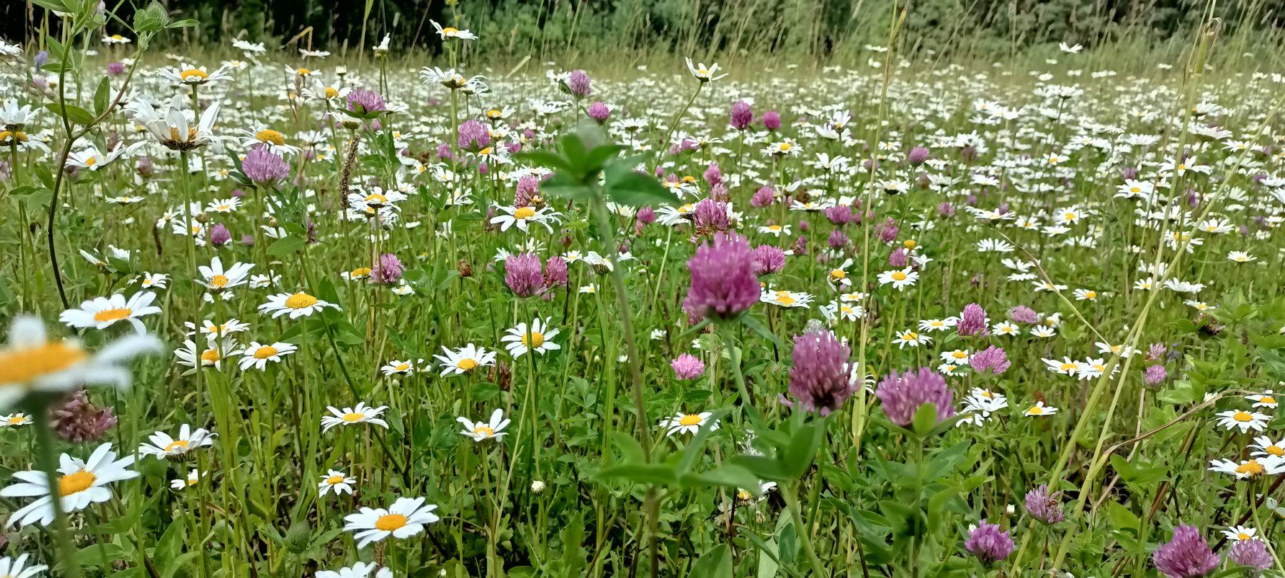 Поляна Поляна цветочная поляна летний луг белые ромашки клевер лето природа красивая воспоминания детства
