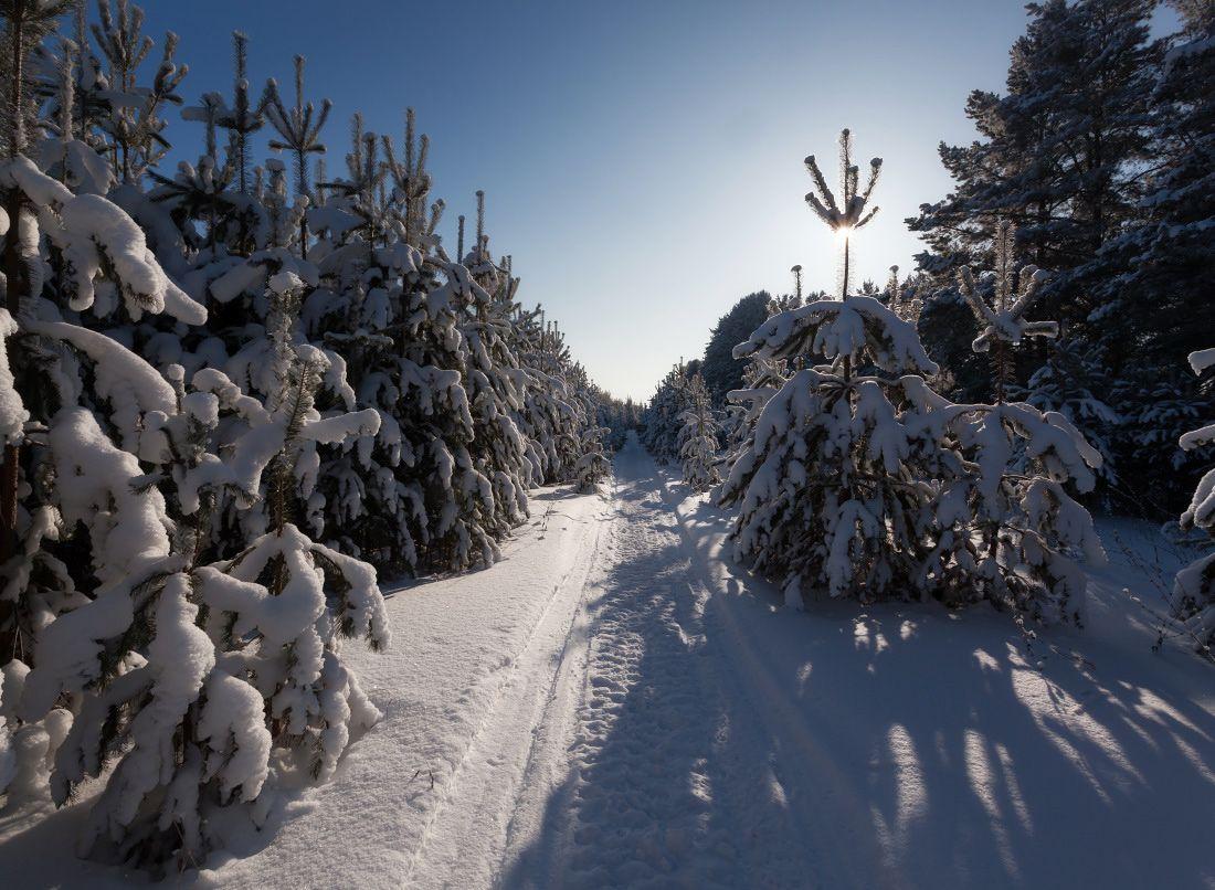 Снежная аллея Сосны тропинка лес снег сугробы мороз зима солнце