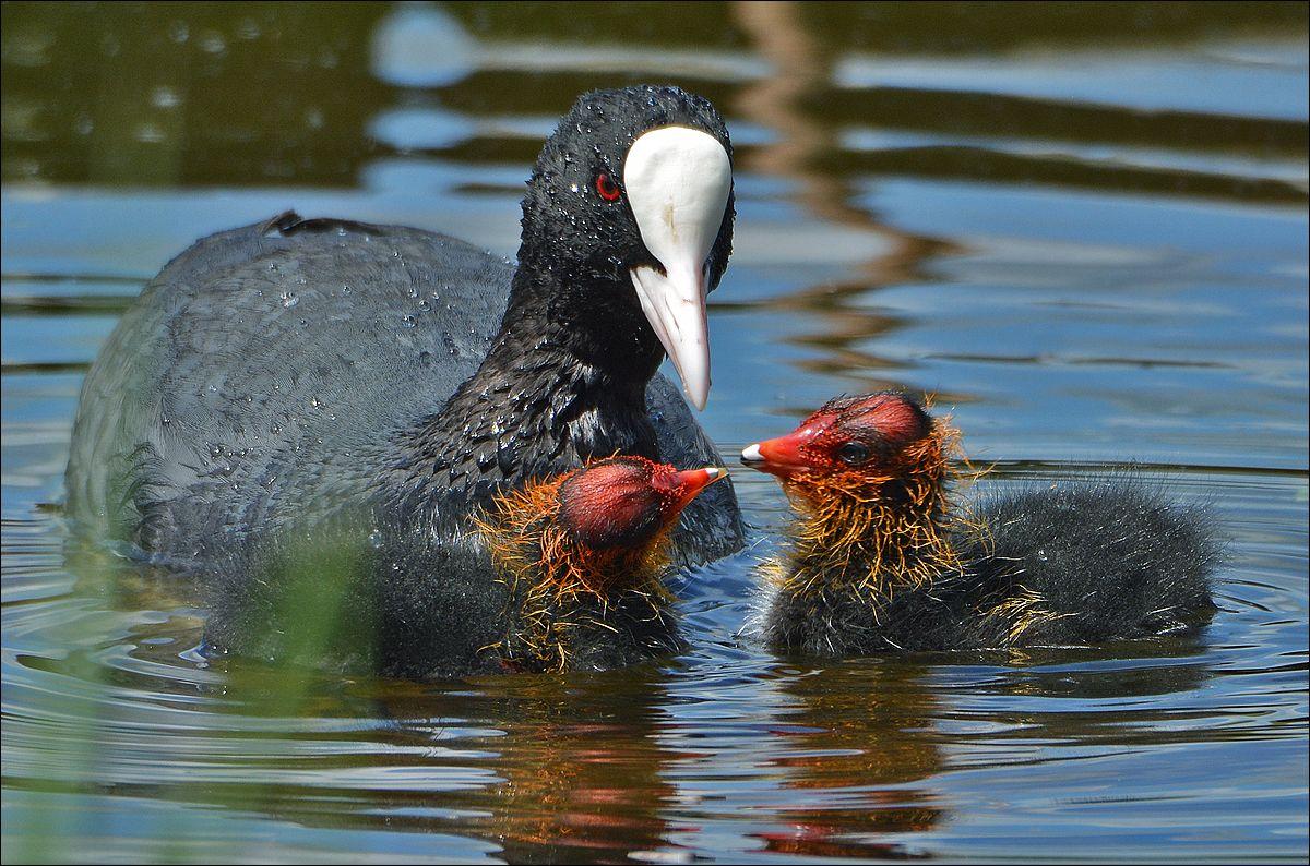 лысуха семья птицы птица птенцы Польша молодая лысуха кормление вода Бытом