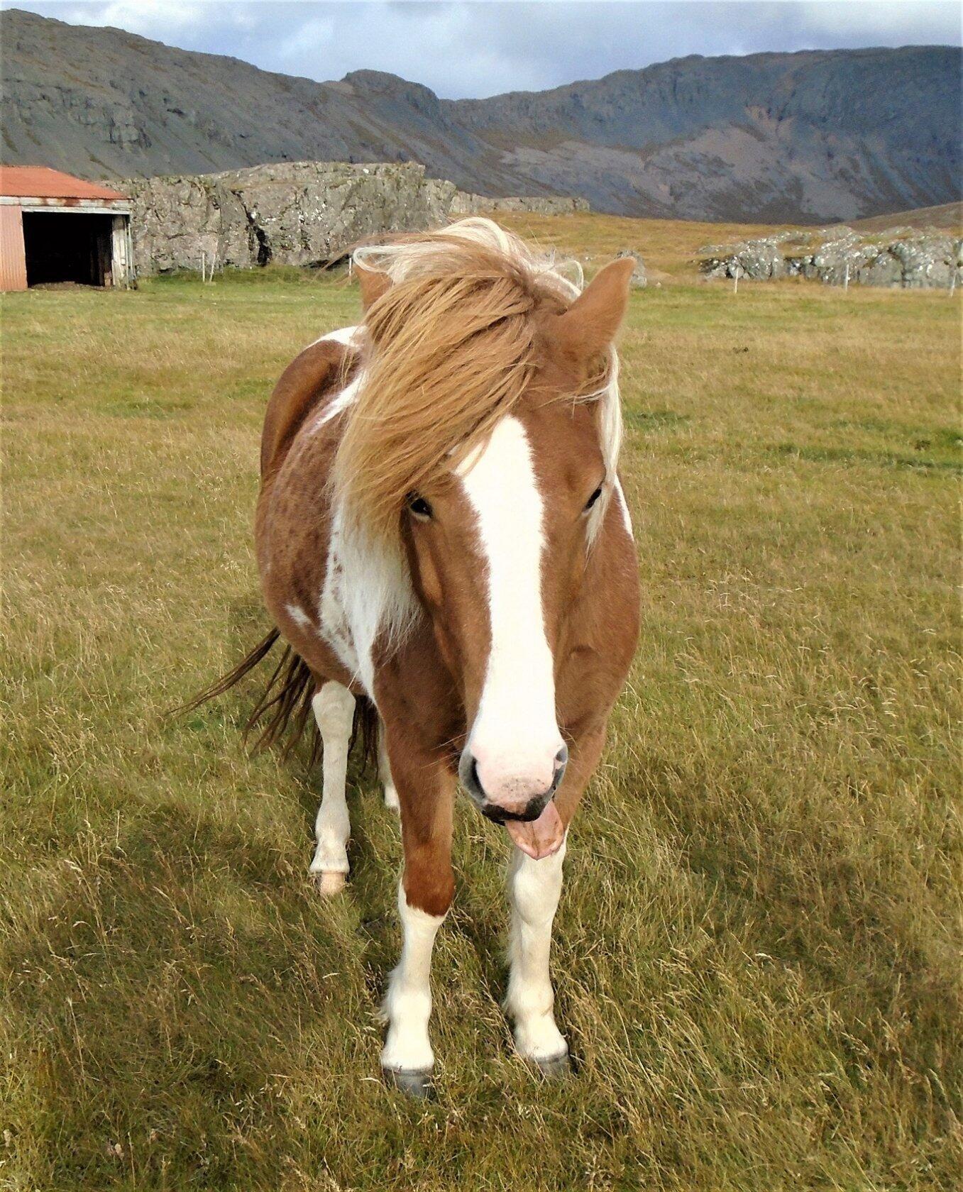 Исландская лошадка.