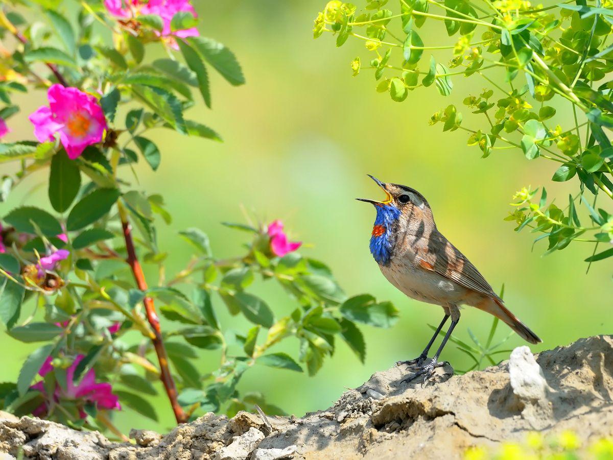 Середина лета природа птицы фотоохота варакушка