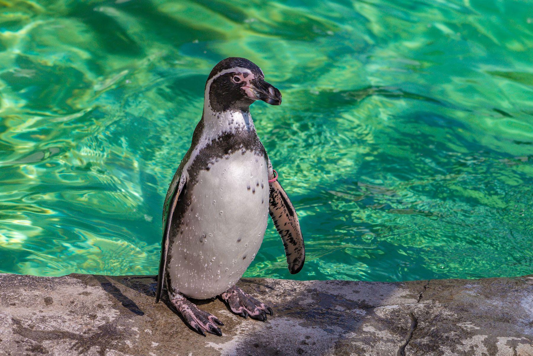 ***пингвин