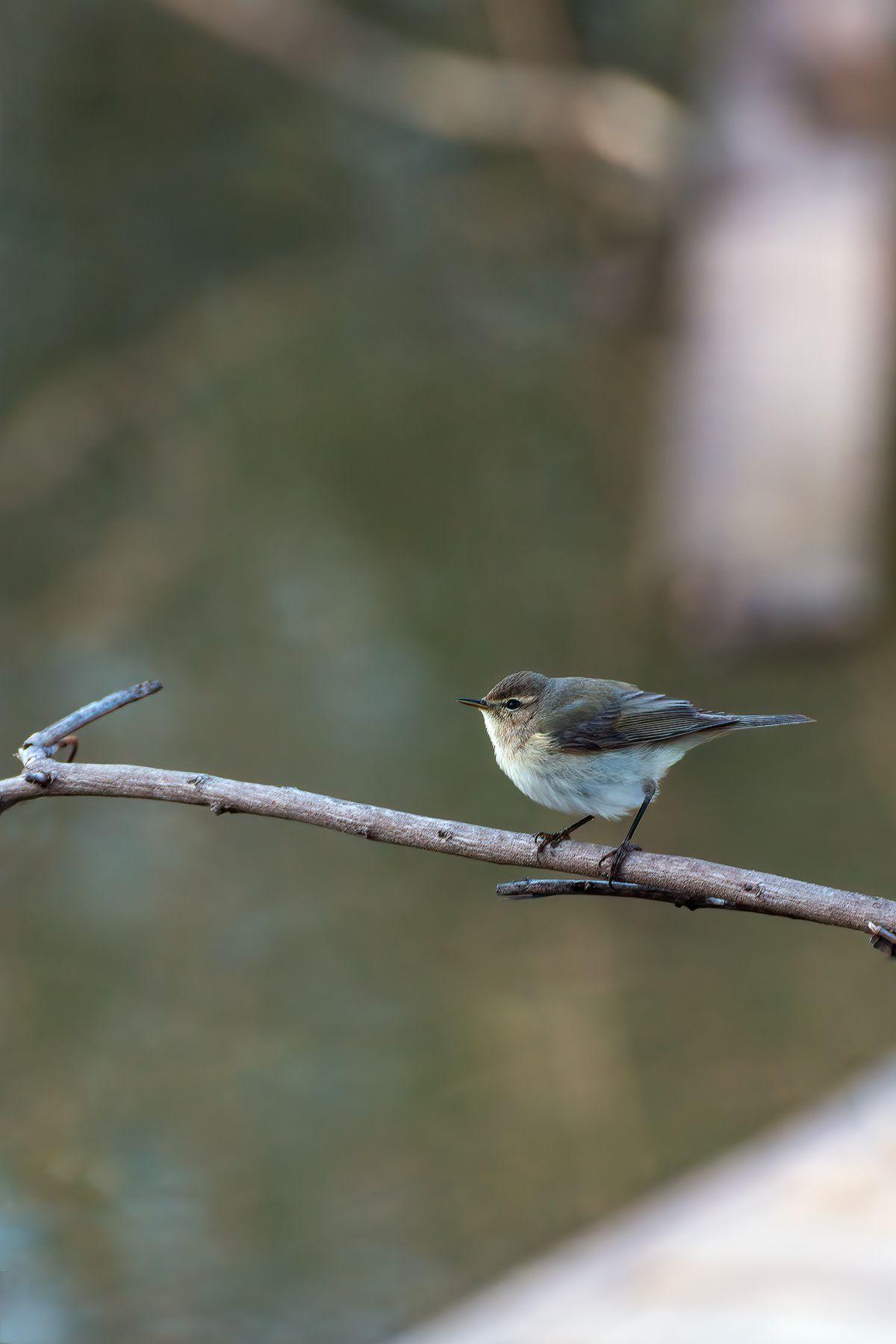 Пеночка - птичка певчая Светлобрюхая пеночка Phylloscopus bonelli