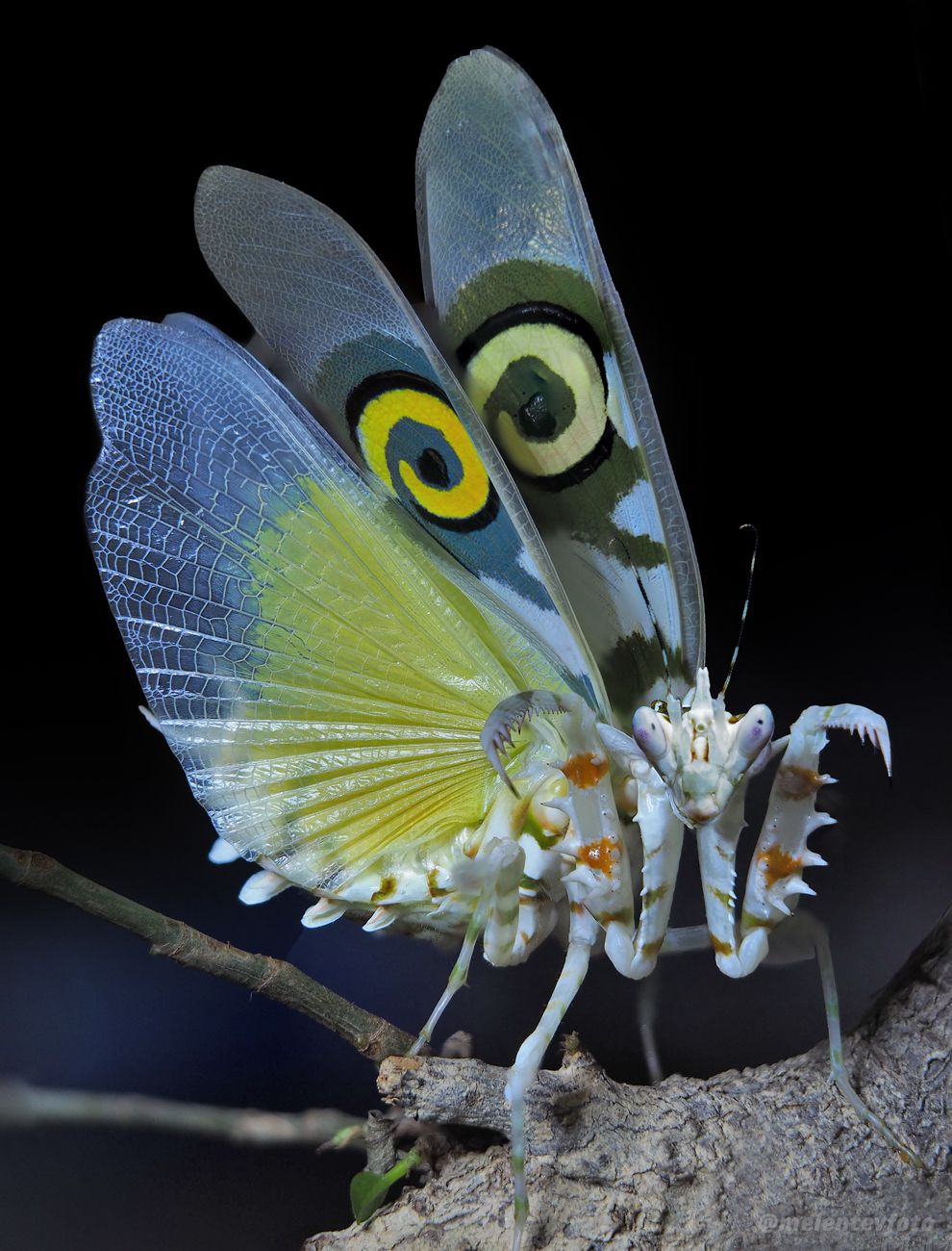 Шипастая  красотка богомол mantis Pseudocreobotra Мелентьев melentevfoto