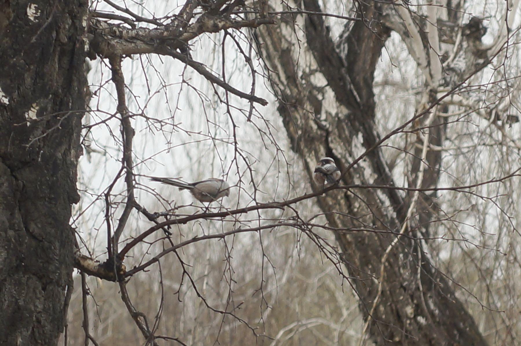 Ополовники ополовник птица весна лес
