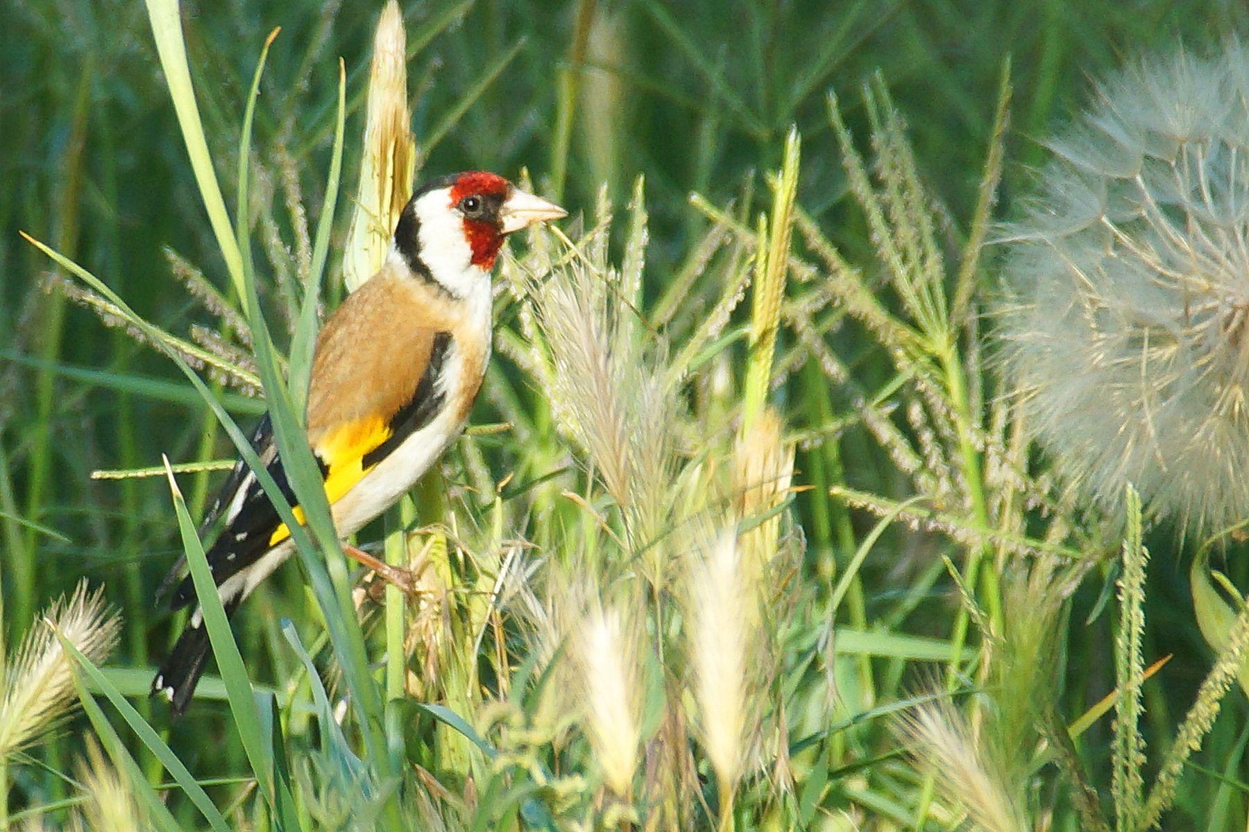 Щегол на траве Волгоград щегол лето птицы