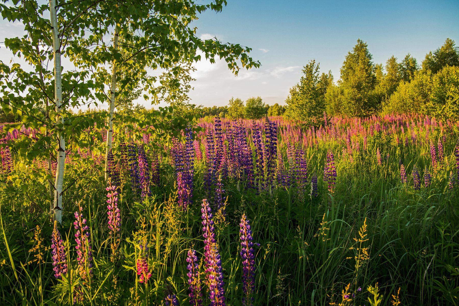 Летний вечер природа пейзаж татарстан ореховка лето вечер люпины