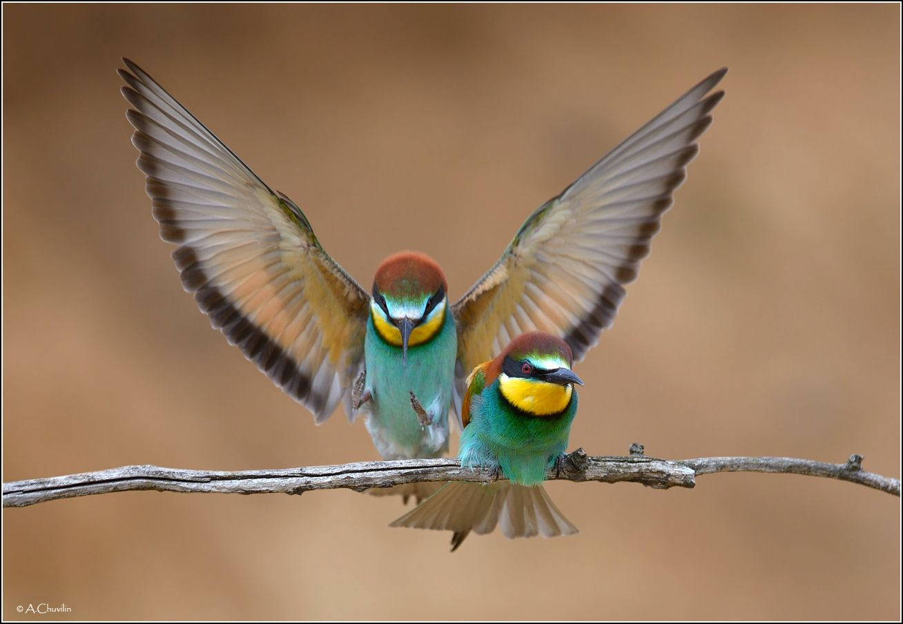 Вот и милый прилетел ) птицы щурки май милый прилетел