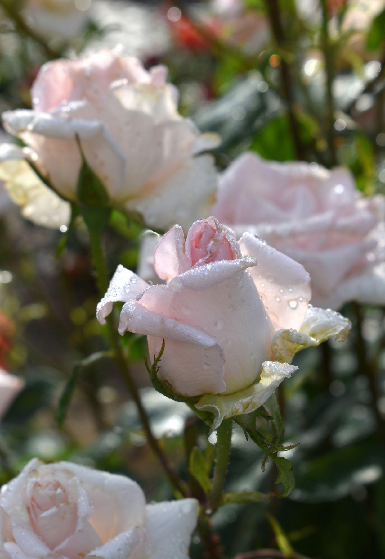 Белые розы лето роза июнь цветы