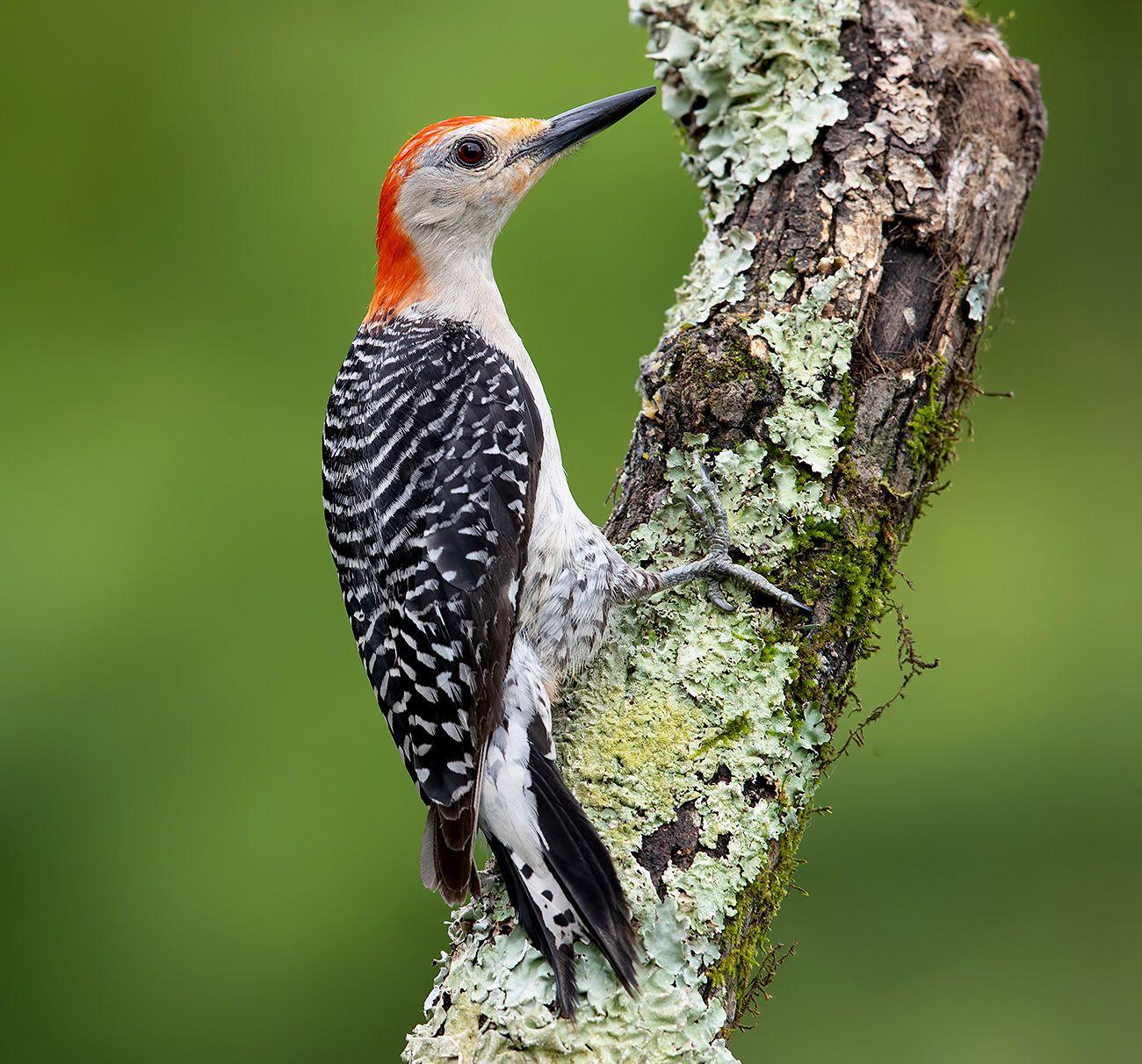 Red-bellied Woodpecker male -Каролинский меланерпес
