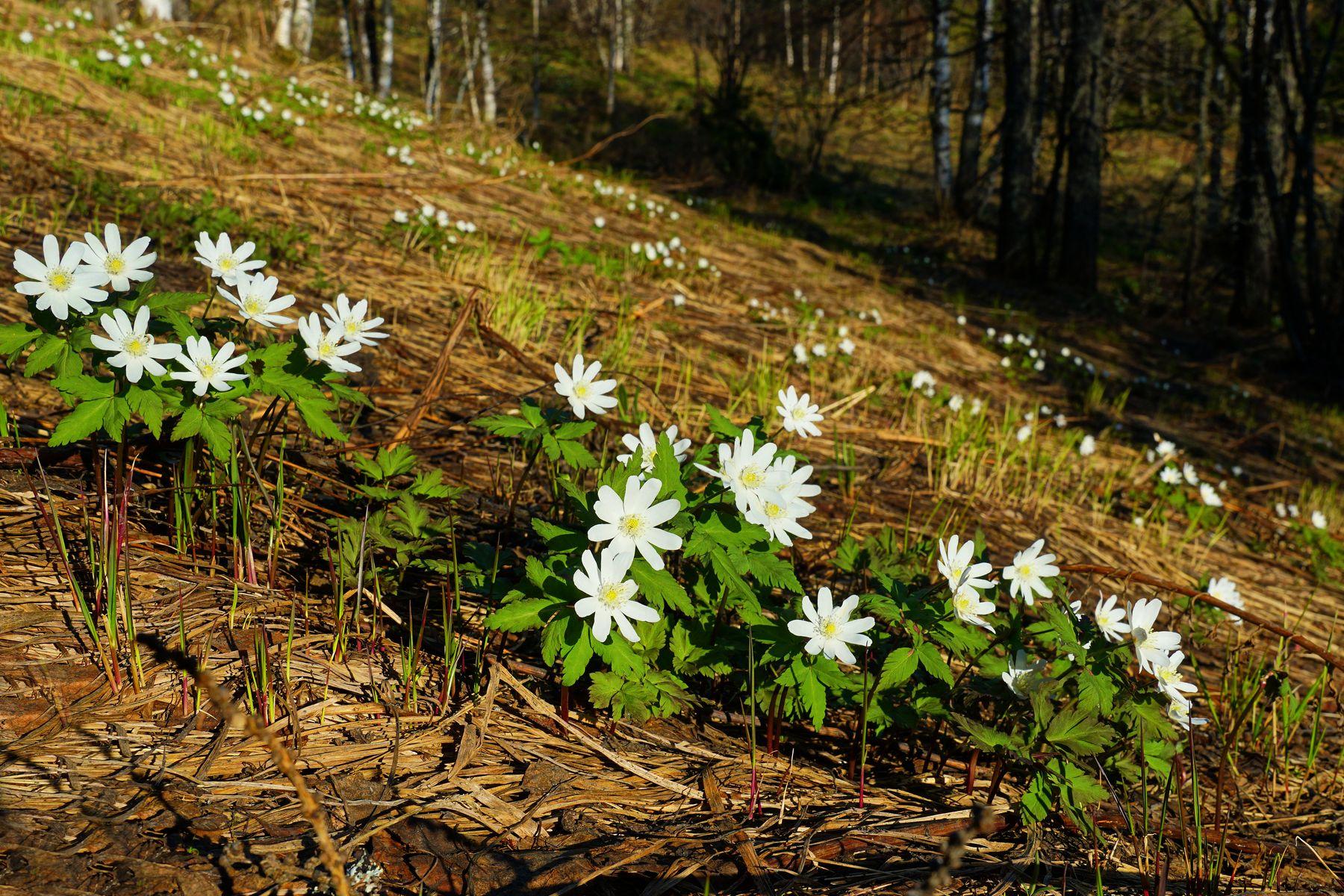 Подснежники Подснежники Весна Лес