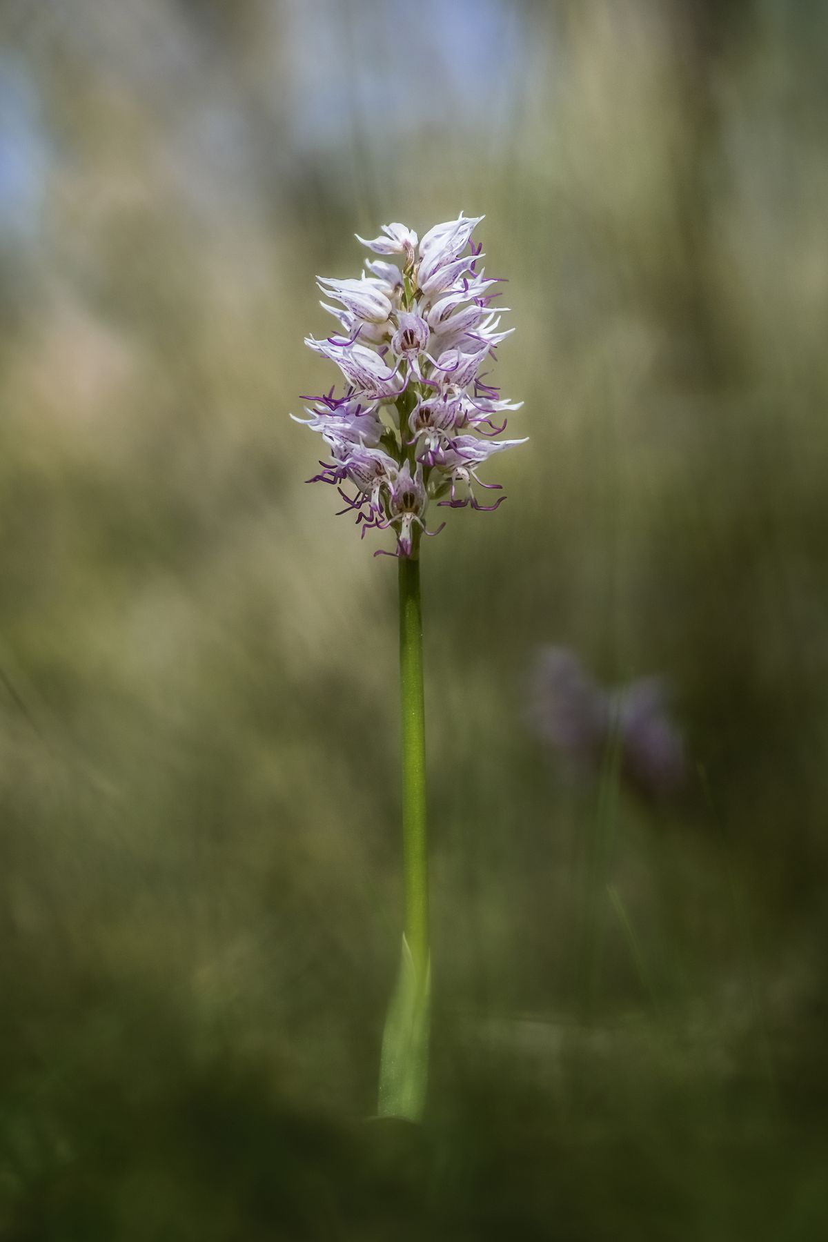 Ятрышник обезьяний цветы макро природа